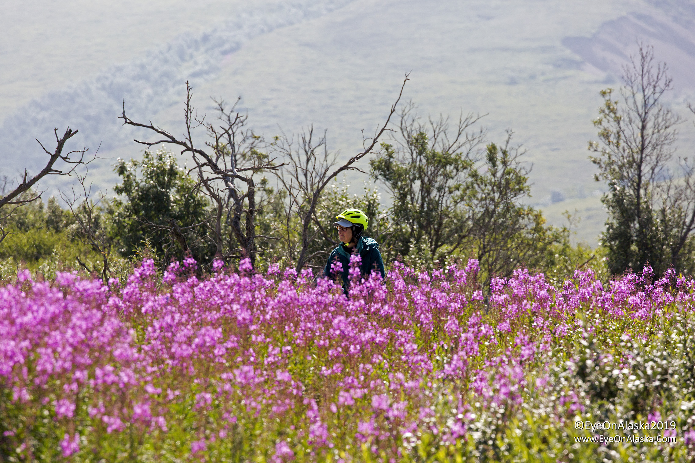 Devany descending Sable Pass in front of the crazy fireweed along the road.