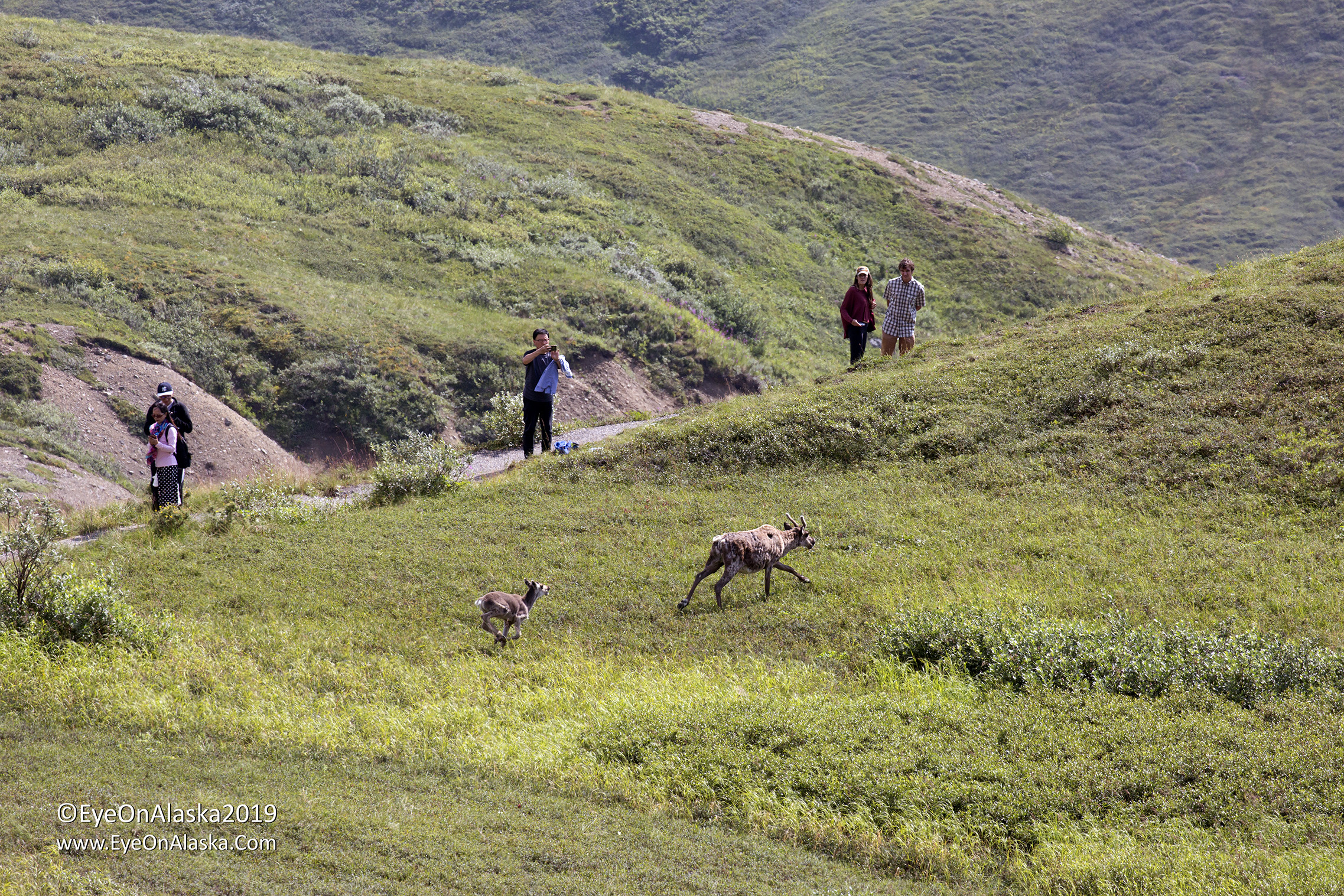 Some visitors hiking the trails below the Eielson Visitor Center had a close encounter with a caribou cow and calf.