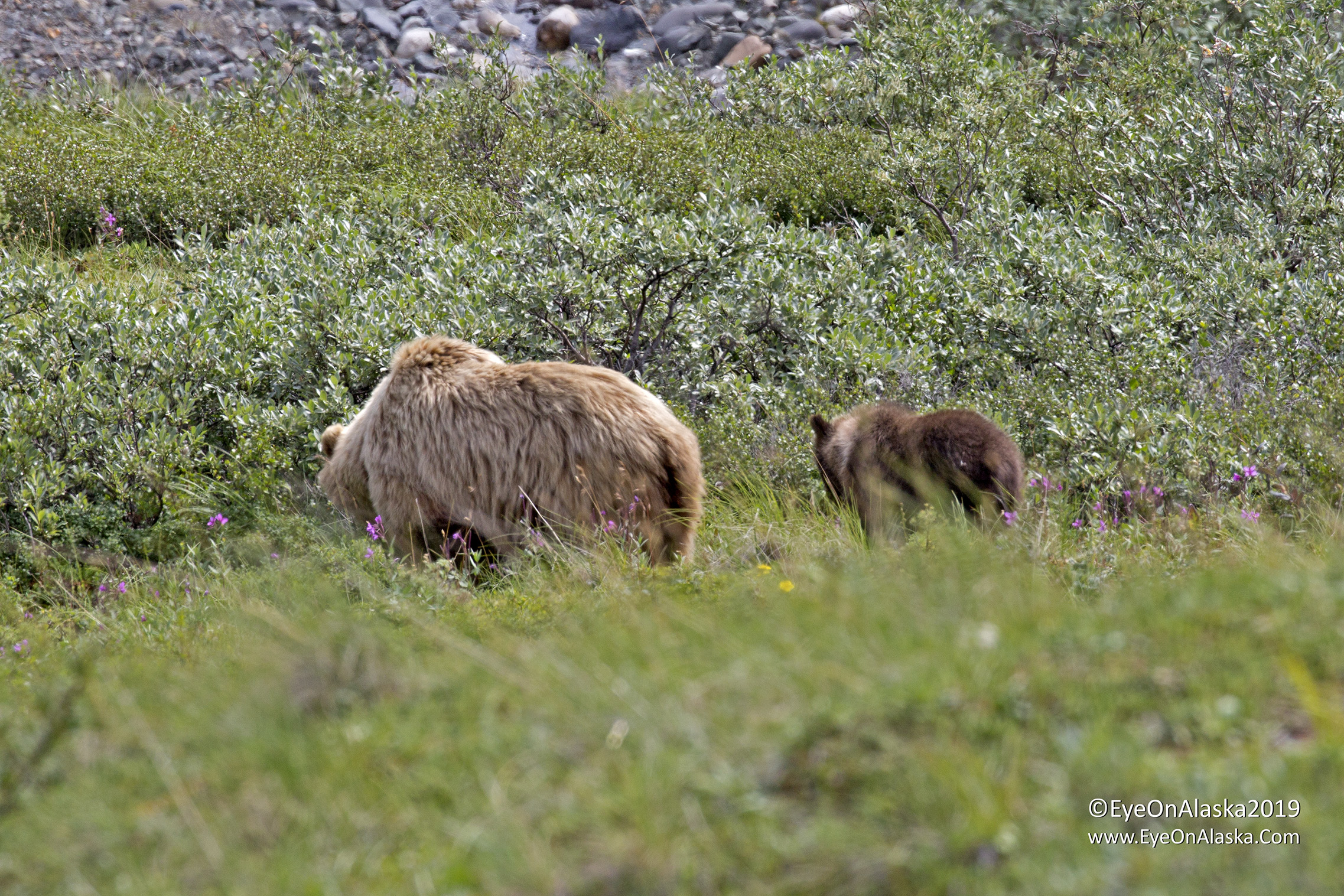 By the time the bus got to the bears they had moved downhill and into the willows, so never got any good shots of them.  But it was good to see a another spring cub, which keeps the population stable if they can make it through their first year.