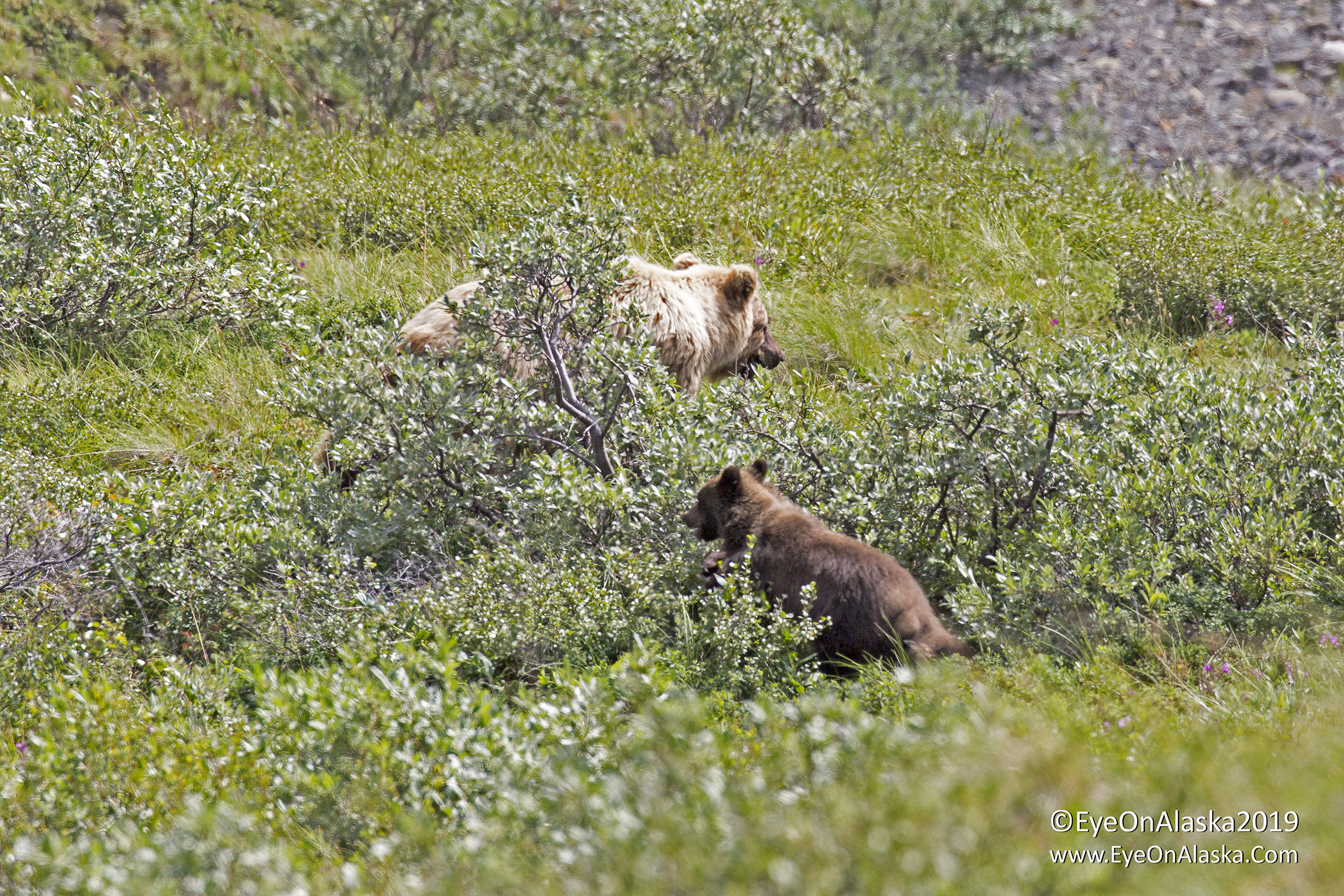 You can make out the blond collar on the spring cub that tells us it was born this year.