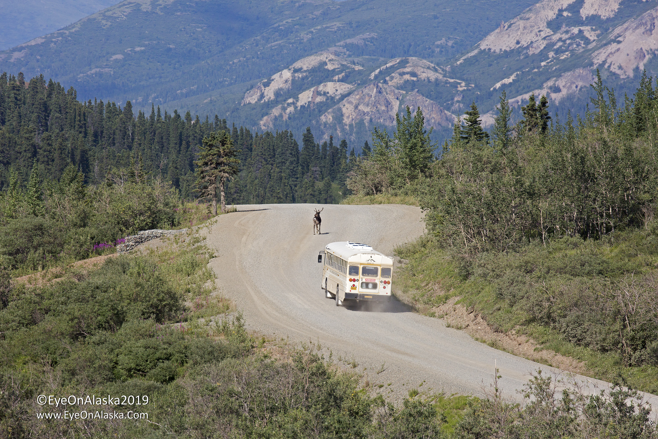 Our final ride of the trip from the top of Sable Pass back to the tek campground.  We watched this bus have to follow a very slow caribou for almost half a mile.  Even though I'm sure that this late in the day the passengers just wanted to get back to the park entrance, the buses aren't allowed to alter the animals behavior.