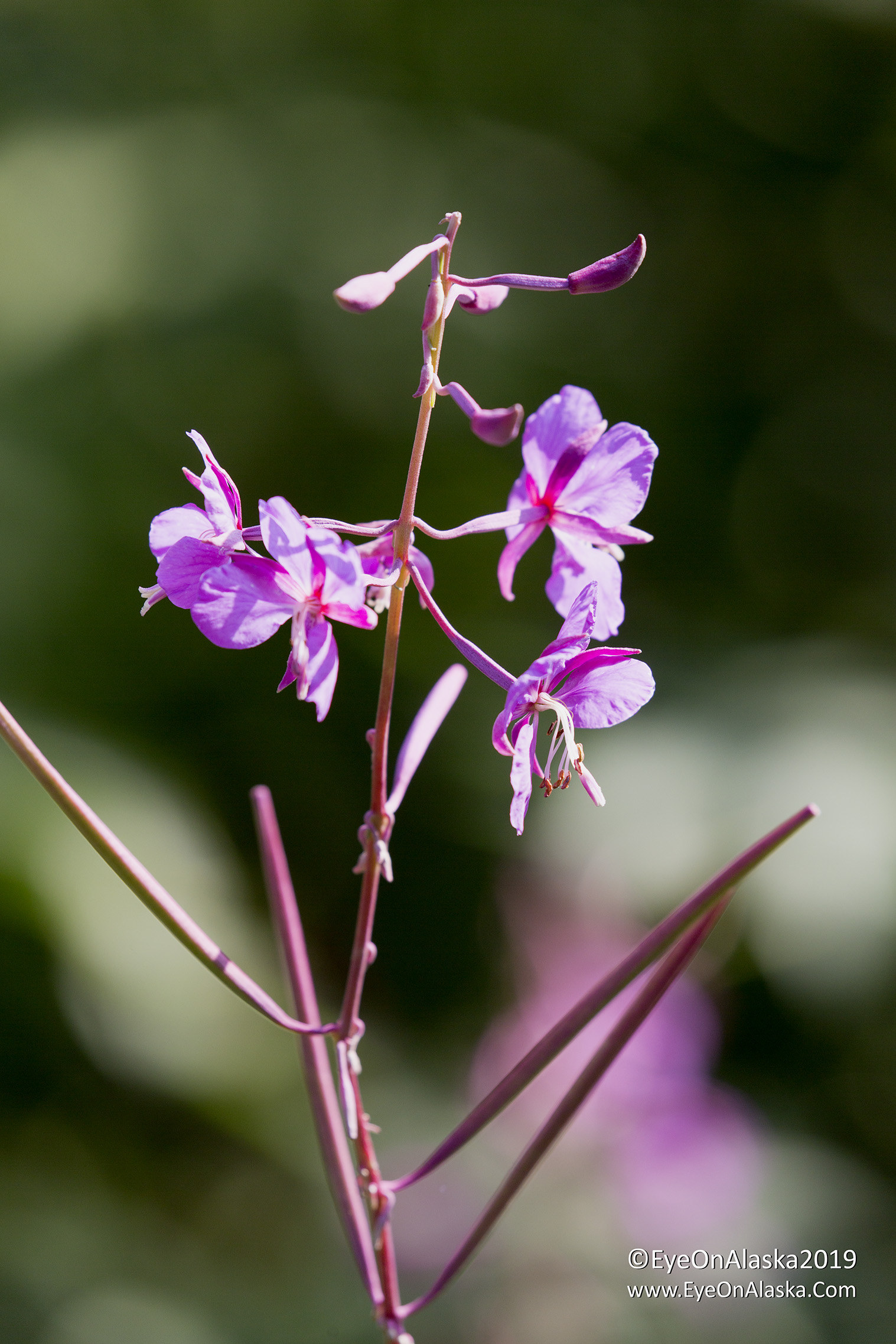 No!  Winter is coming.  Most of the fireweed in Portage Valley has already gone to seed.  The survivors are flowering just at the very tops.   Fireweed blooms from bottom to top, and the old Alaska Native legends say it's six weeks to winter when it tops out.