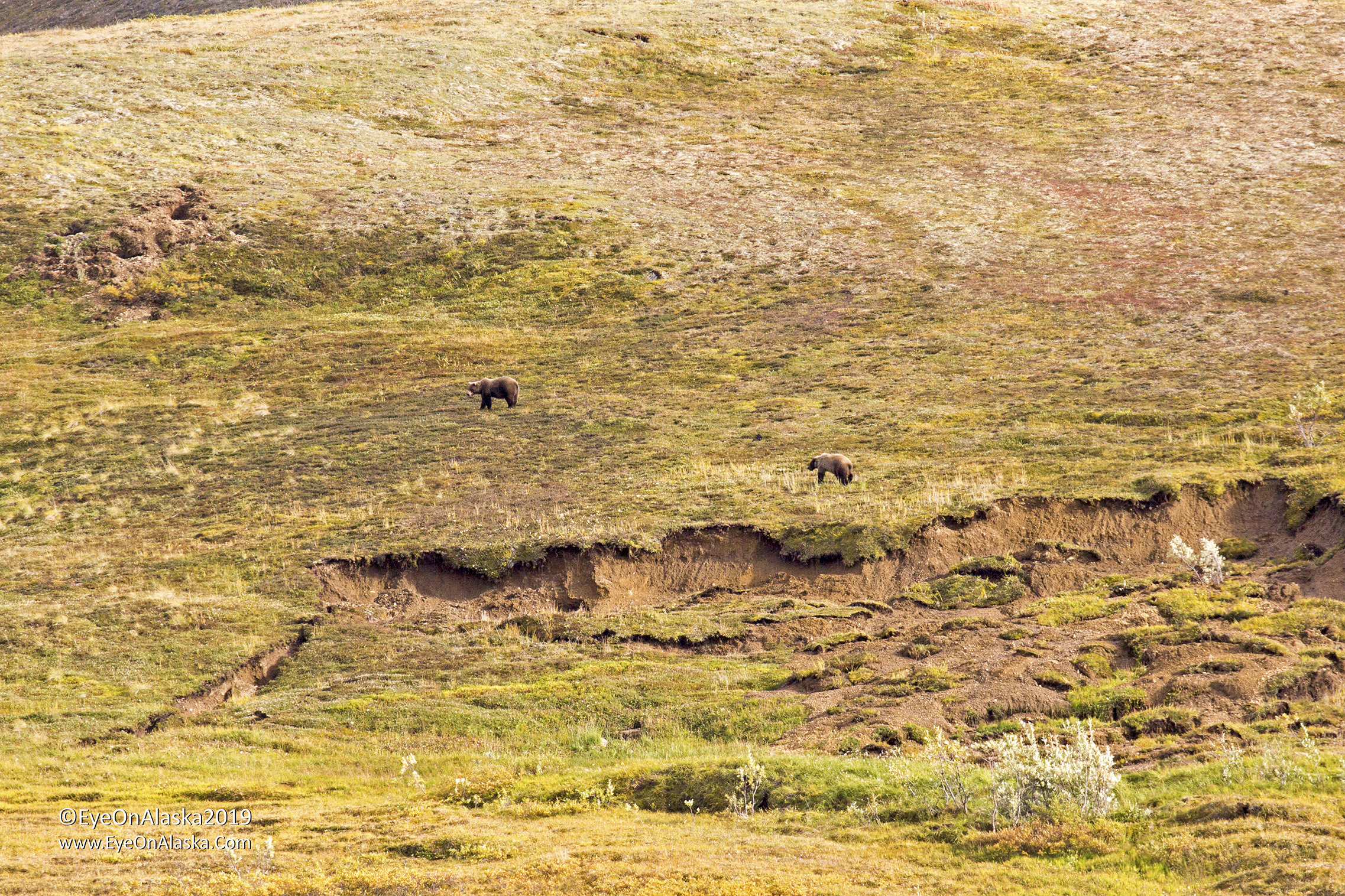 2 more bears in Sable Pass just above a fresh mudslide caused by the heavy rains a week ago.