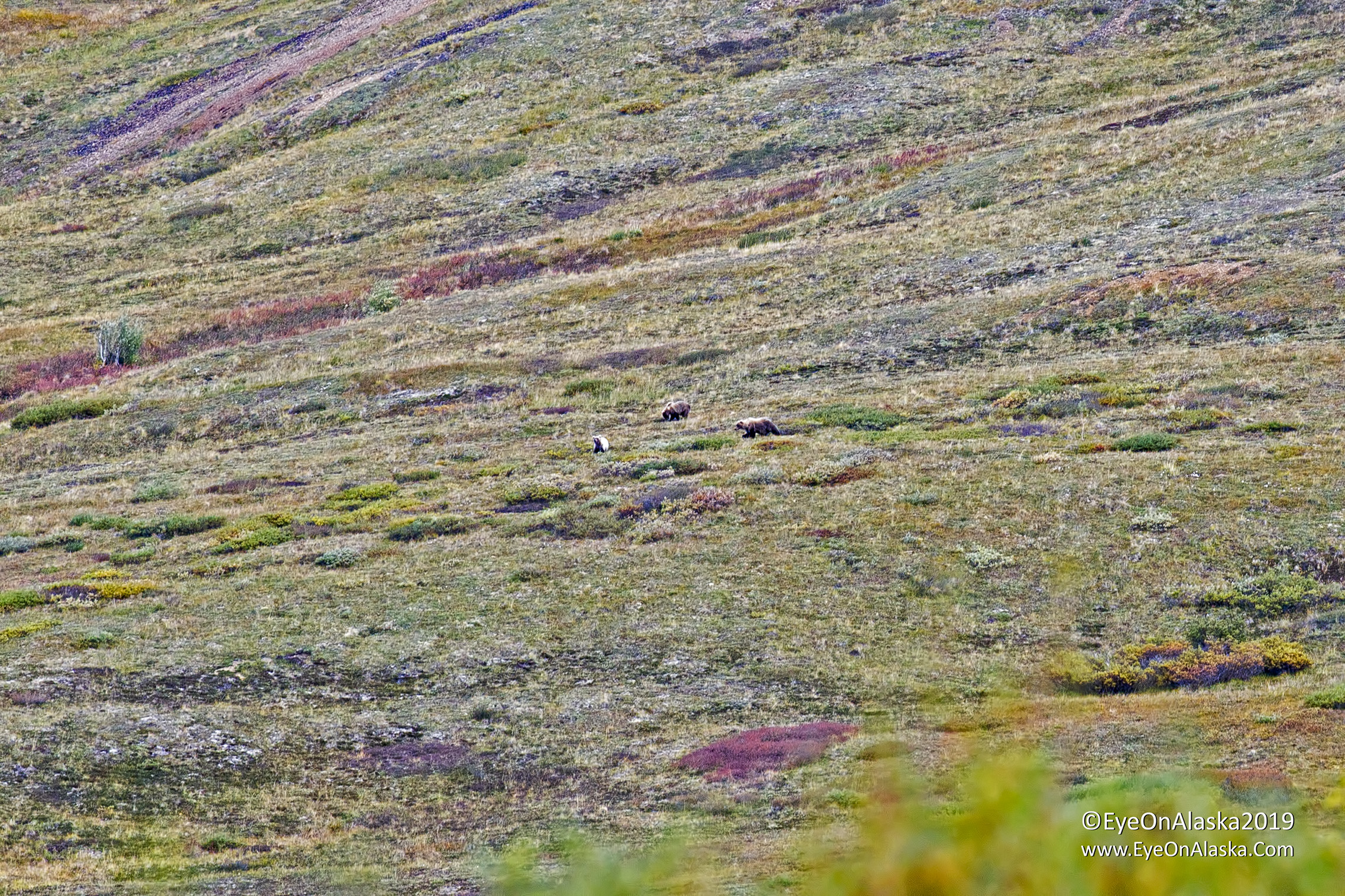 Back on the bikes heading down Sable Pass again, and not more than a half mile after we start we spot these 3 bears up in the berry fields.