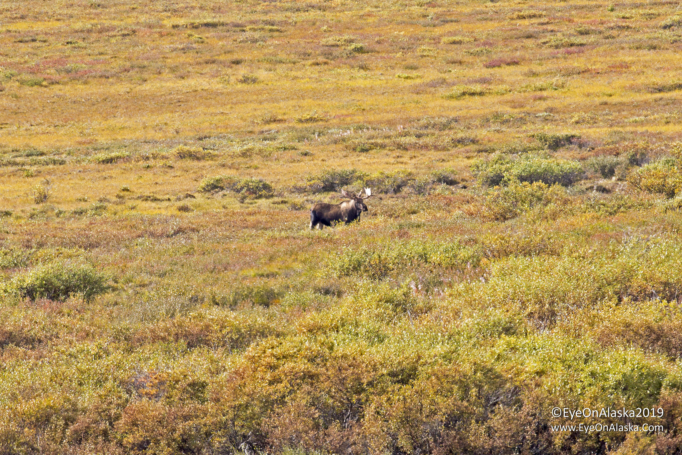 We biked from the top of Polychrome Pass to the Toklat River.  Saw this huge bull moose on the Plains of Murie.  He had two cows near him, so he's building his harem during the rutting season.