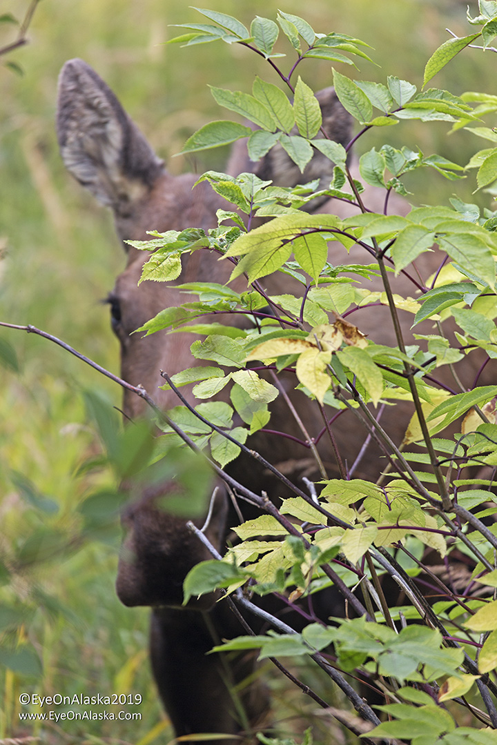 Peek-a-Moose :)
