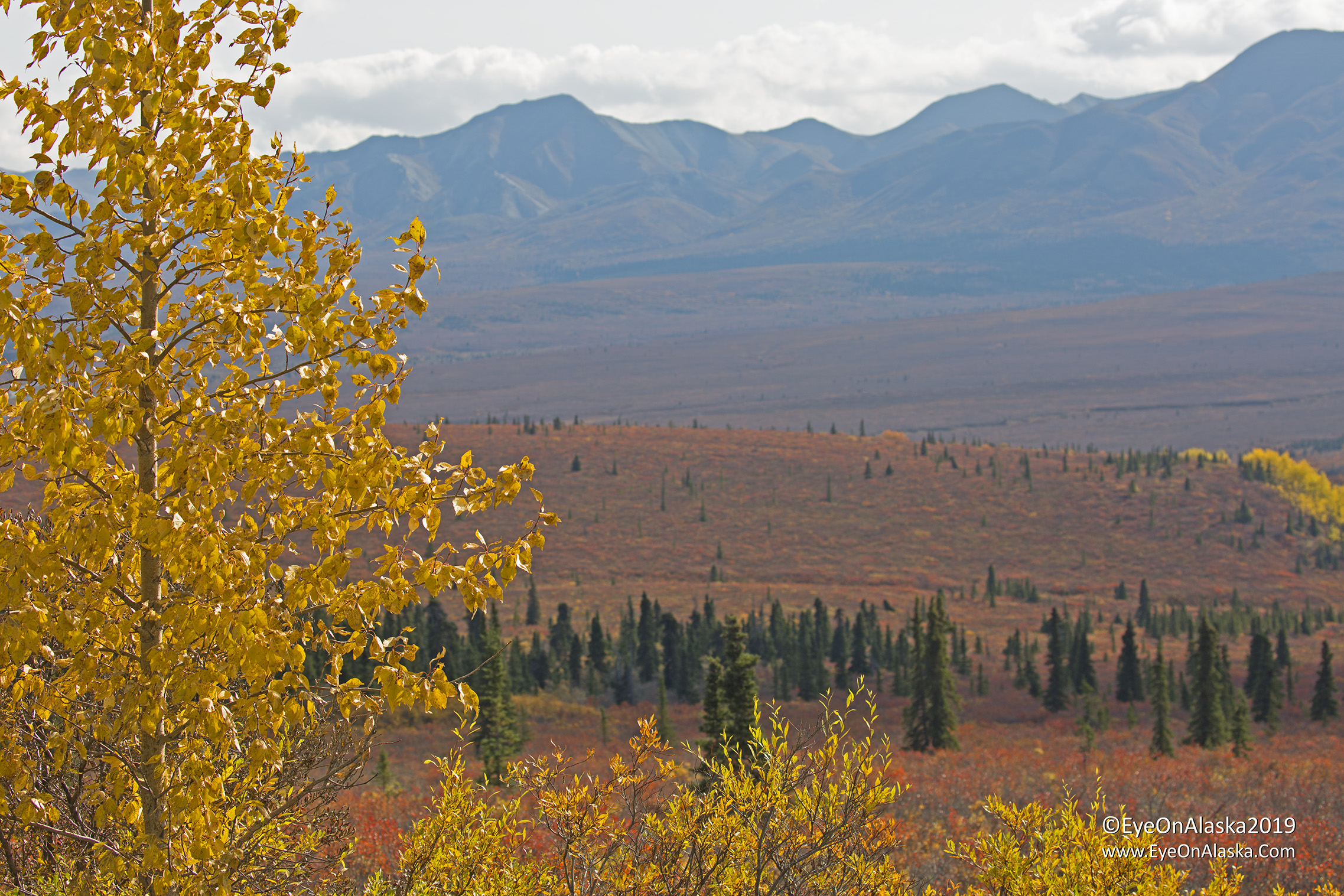 Just up from the Savage River bridge, the color is just exploding around us as we drive into the Teklanika campground on Thursday afternoon.