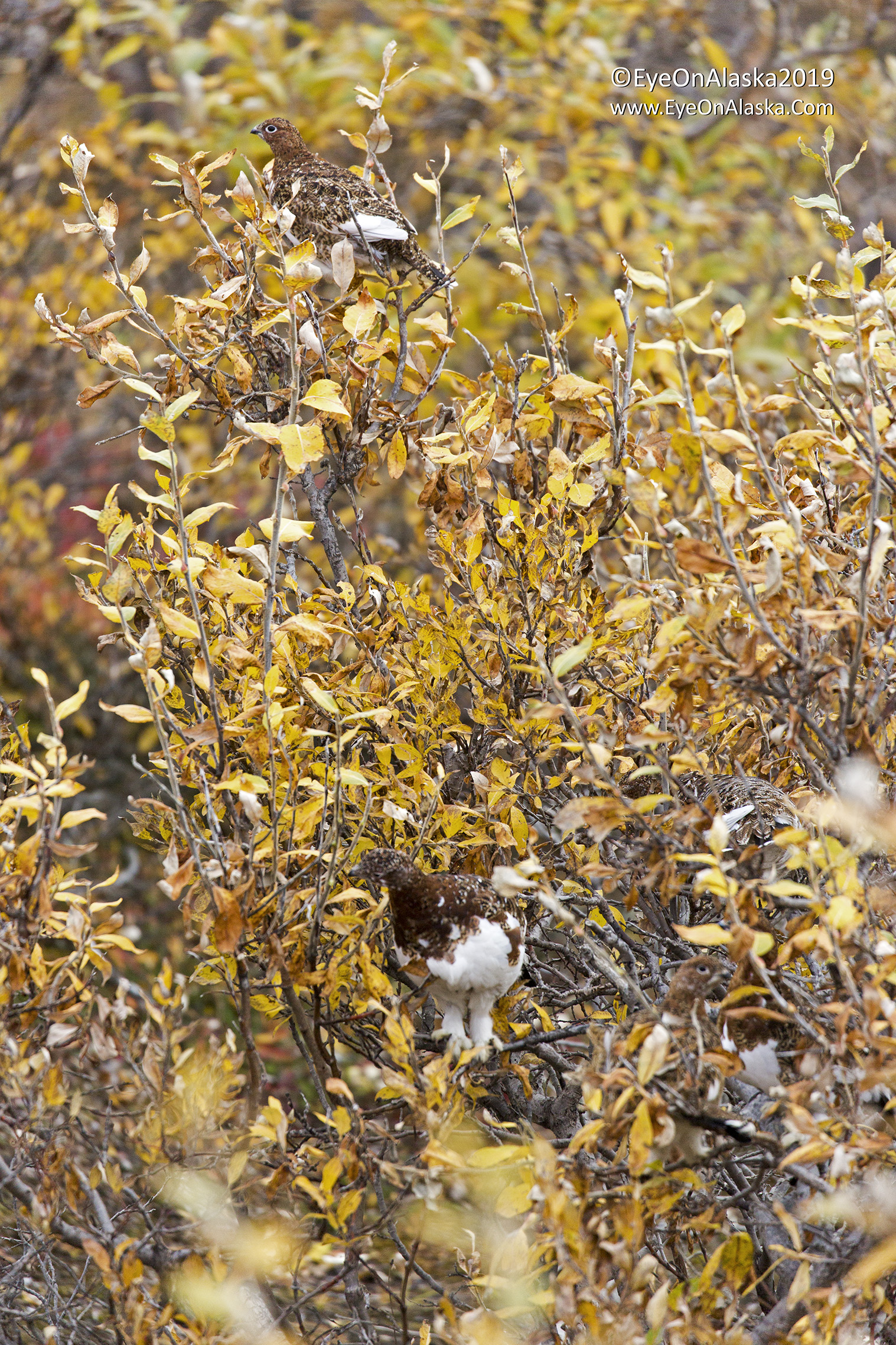Okay, how many Ptarmigan do you see in this bush?