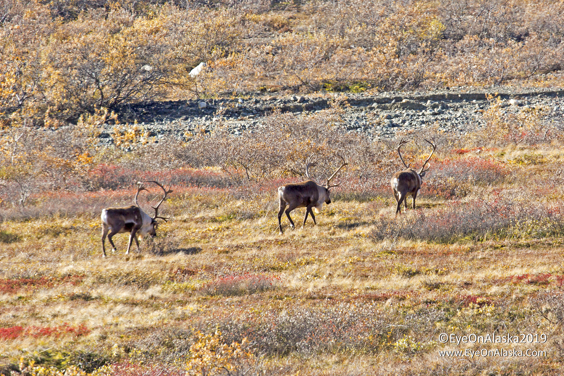 3 good sized bull Caribou beginning their fall migration towards Denali and eventually to their winter grounds.