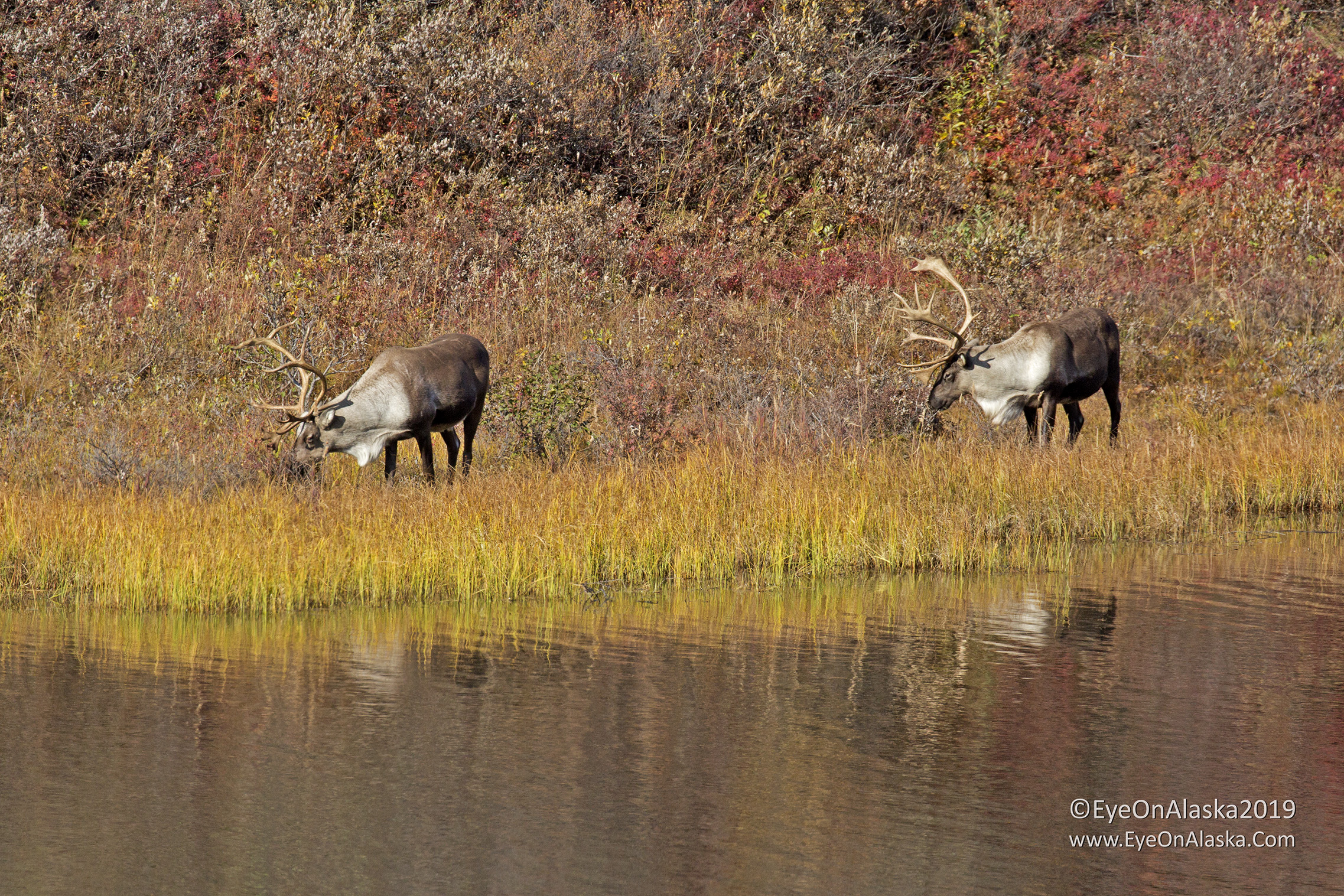 A couple of really nice sized Caribou bulls next to one of the ponds along the road to Wonder Lake.