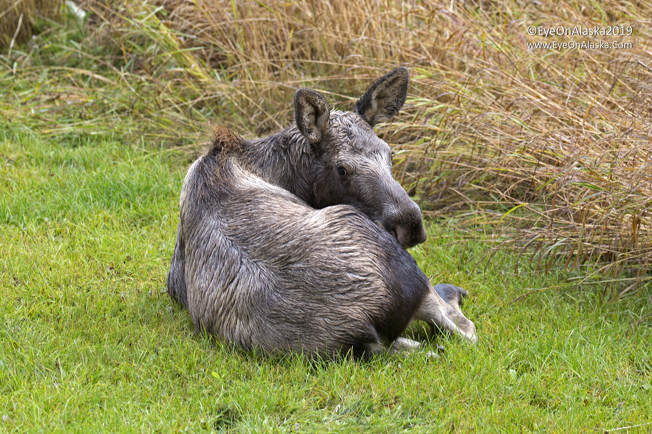 Meanwhile, Baby Moose is in the backyard watching all this play out.