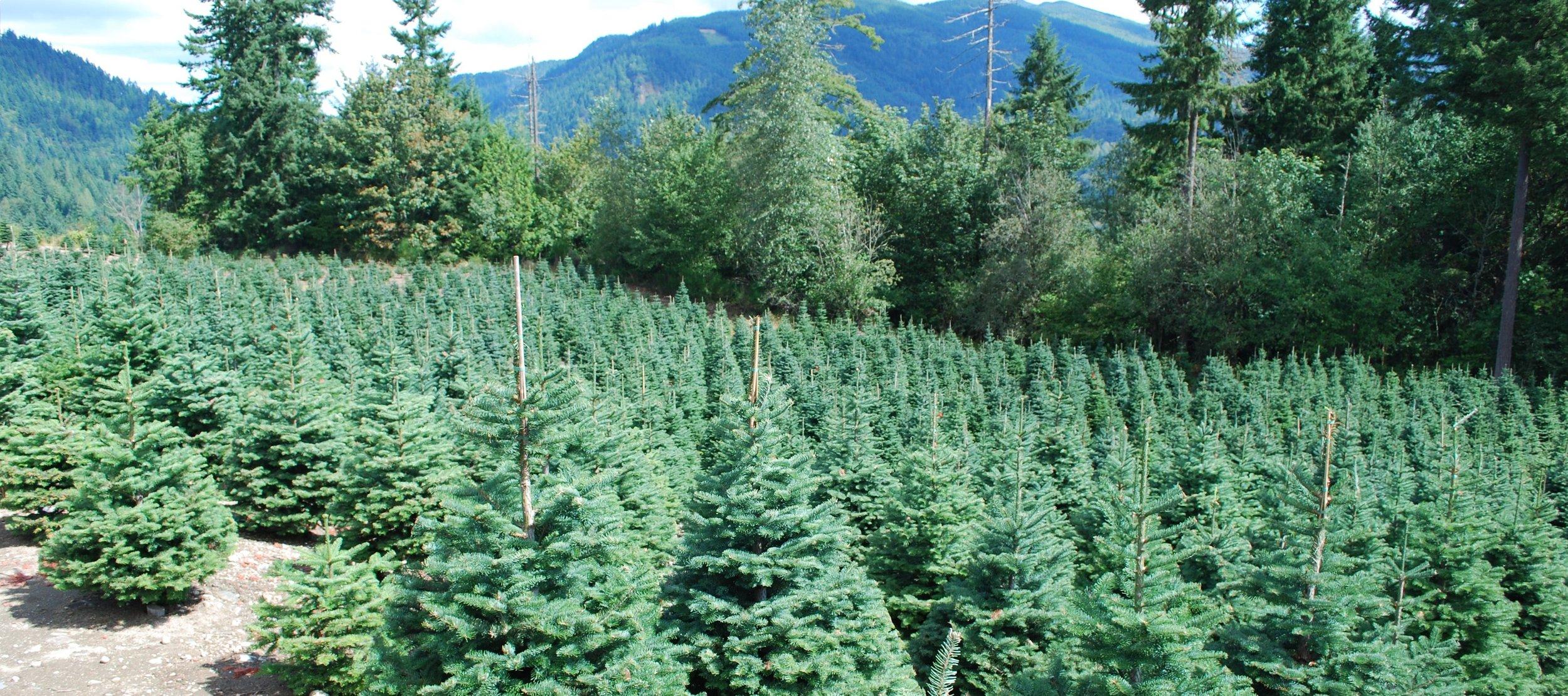 Christmas Tree Pics for web 152.JPG
