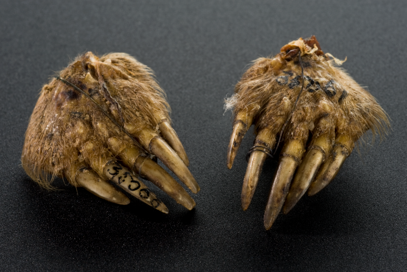 Mole's foot amulet, from Norwich UK (1890-1910): according to the Science Museum London, where this amulet now resides, 'the mole foot was purchased in 1930 from Edward Lovett's (1852-1933) collection of British amulets and charms.'