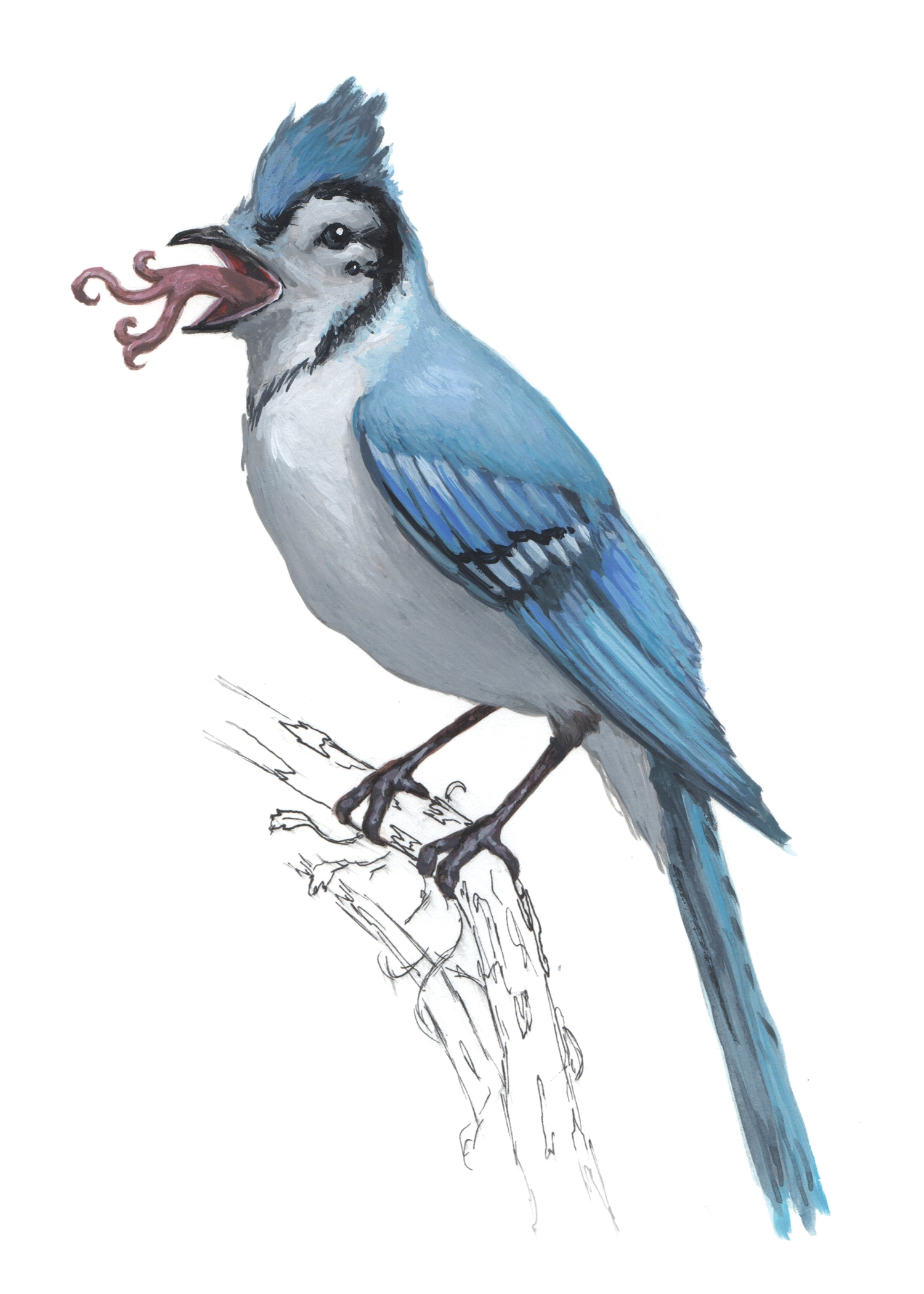 BlueJay-Bird1.jpg