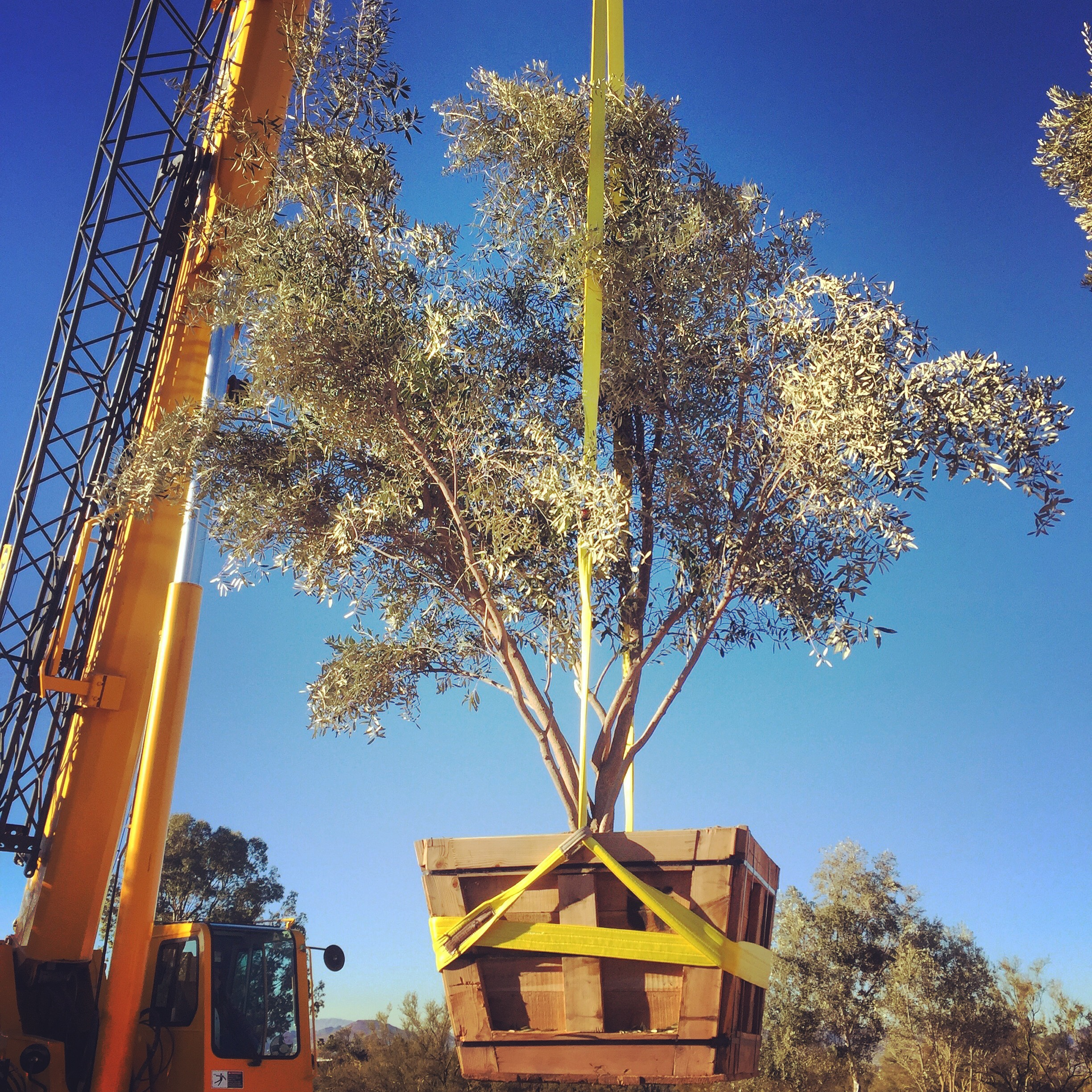 Olive trees about to be airborne at a lovely old Joesler residence