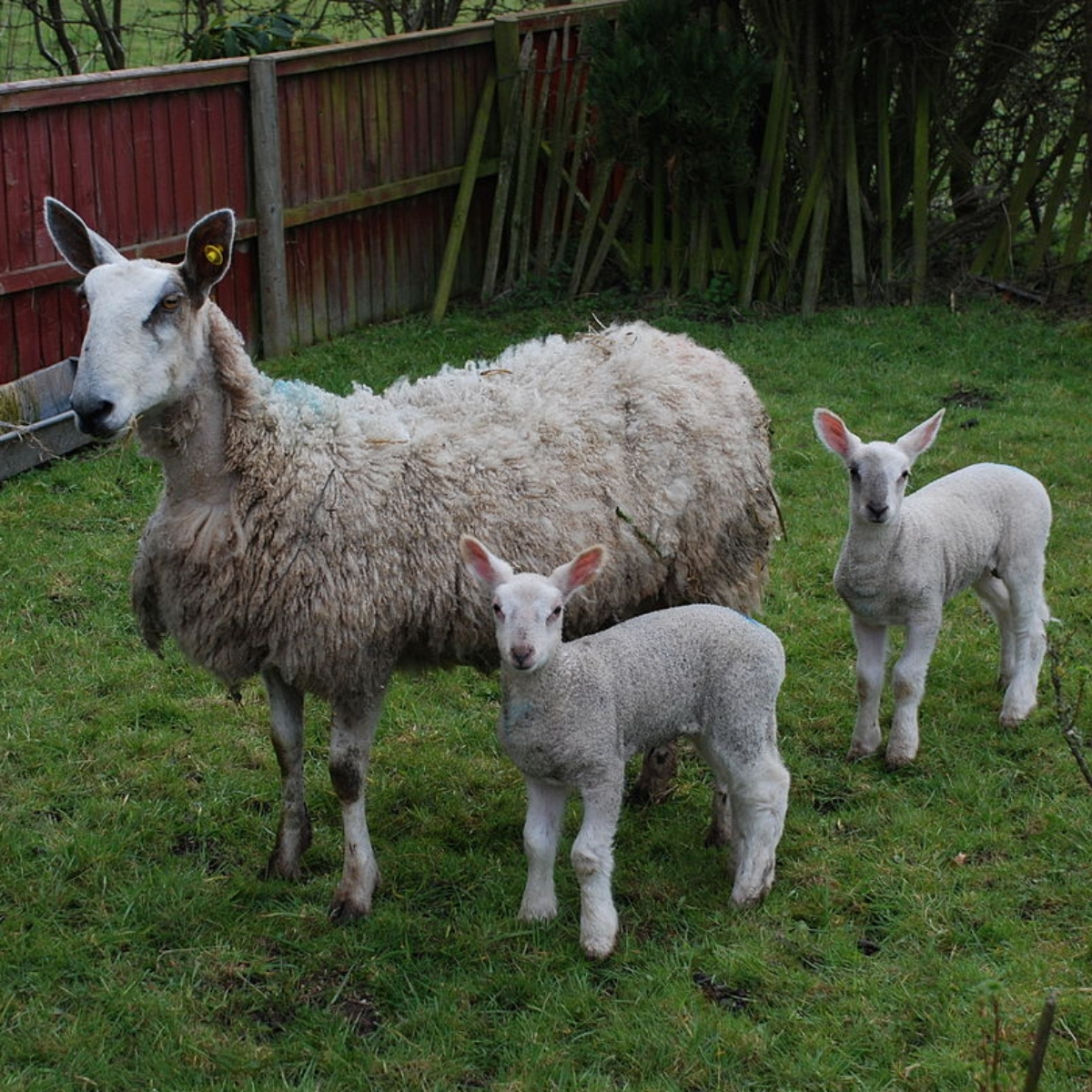 1280px-Ewe_and_lambs_in_the_garden.jpg