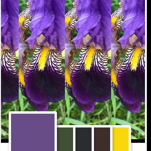 Color is Perennial #irisflowergarden #colorcapture #yellowandpurple #oppositesattract #itsallthere #blowinginthewind