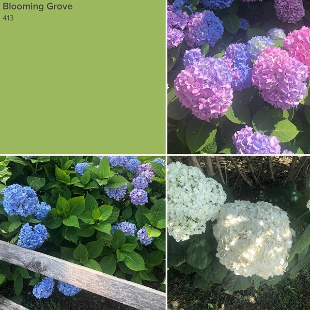 Blooming Color #hydrangeaallsummerlong #freshcolor #capturecolor #inspiredbynature #greenground #colorgreen💚 #pinkandgreen #purpleandgreen #popsofwhite