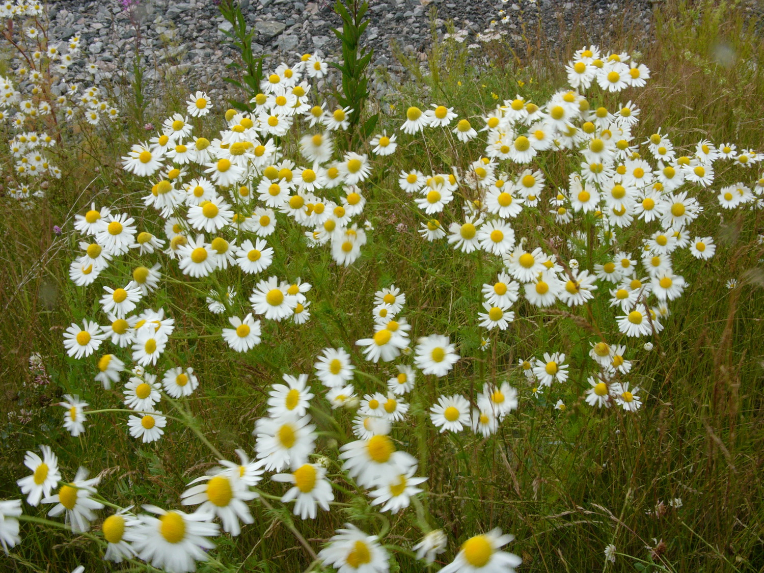 Camomile grows beside the streets