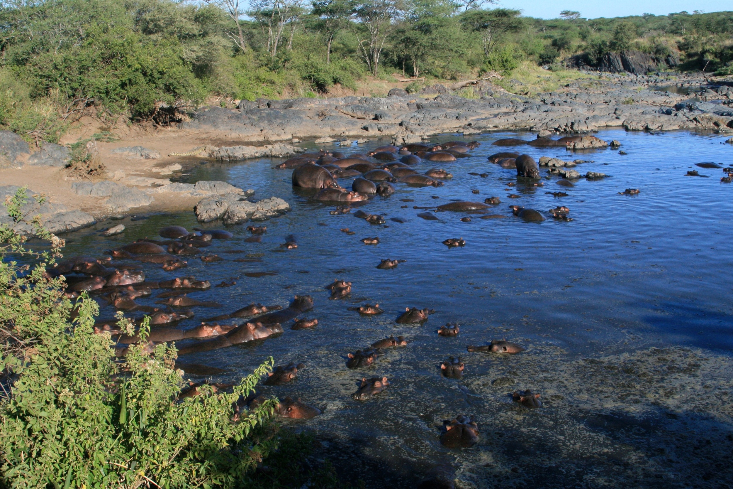Wild hippos in East Africa