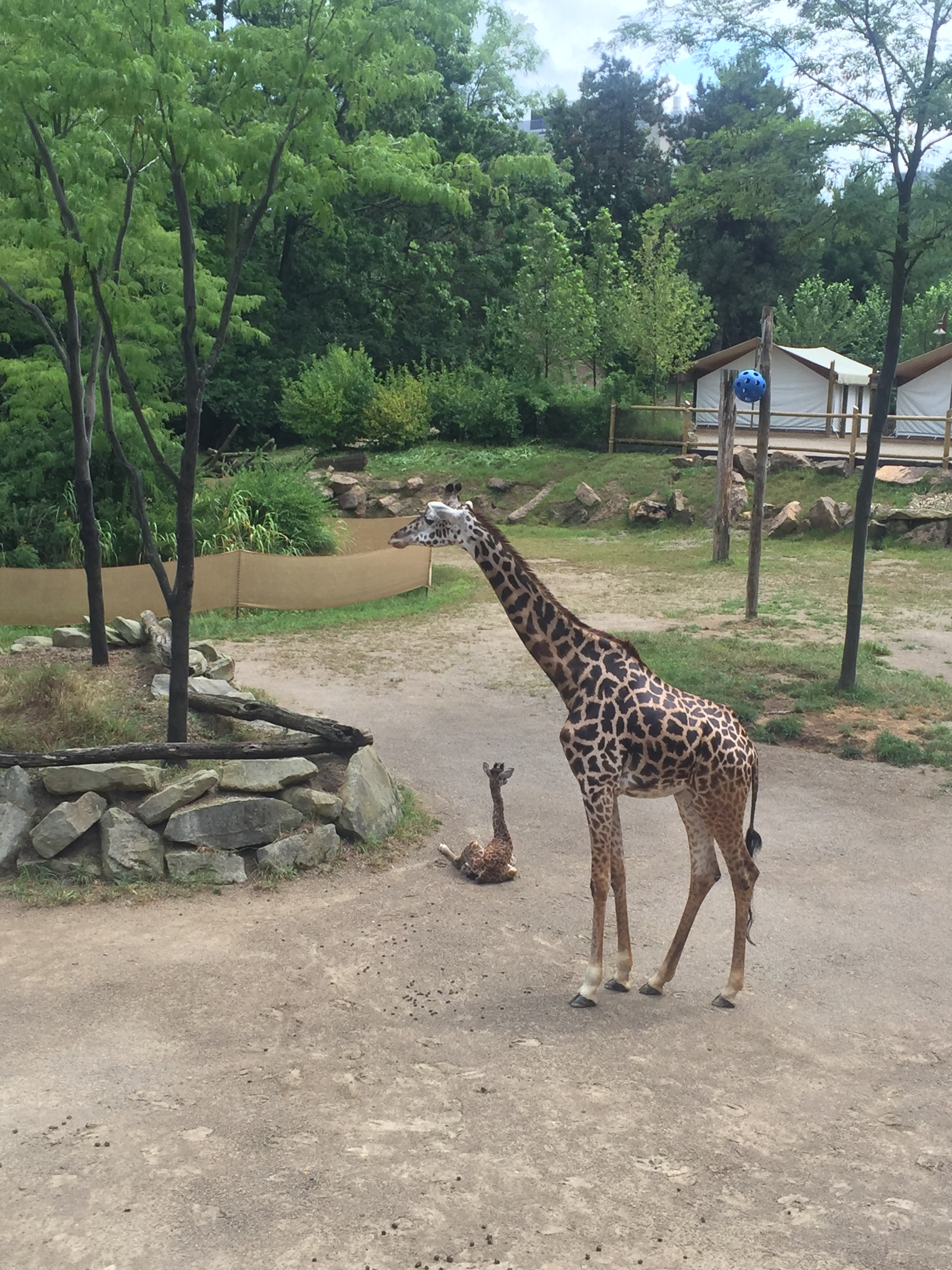 Baby-Giraffe-Cincinnati-Zoo