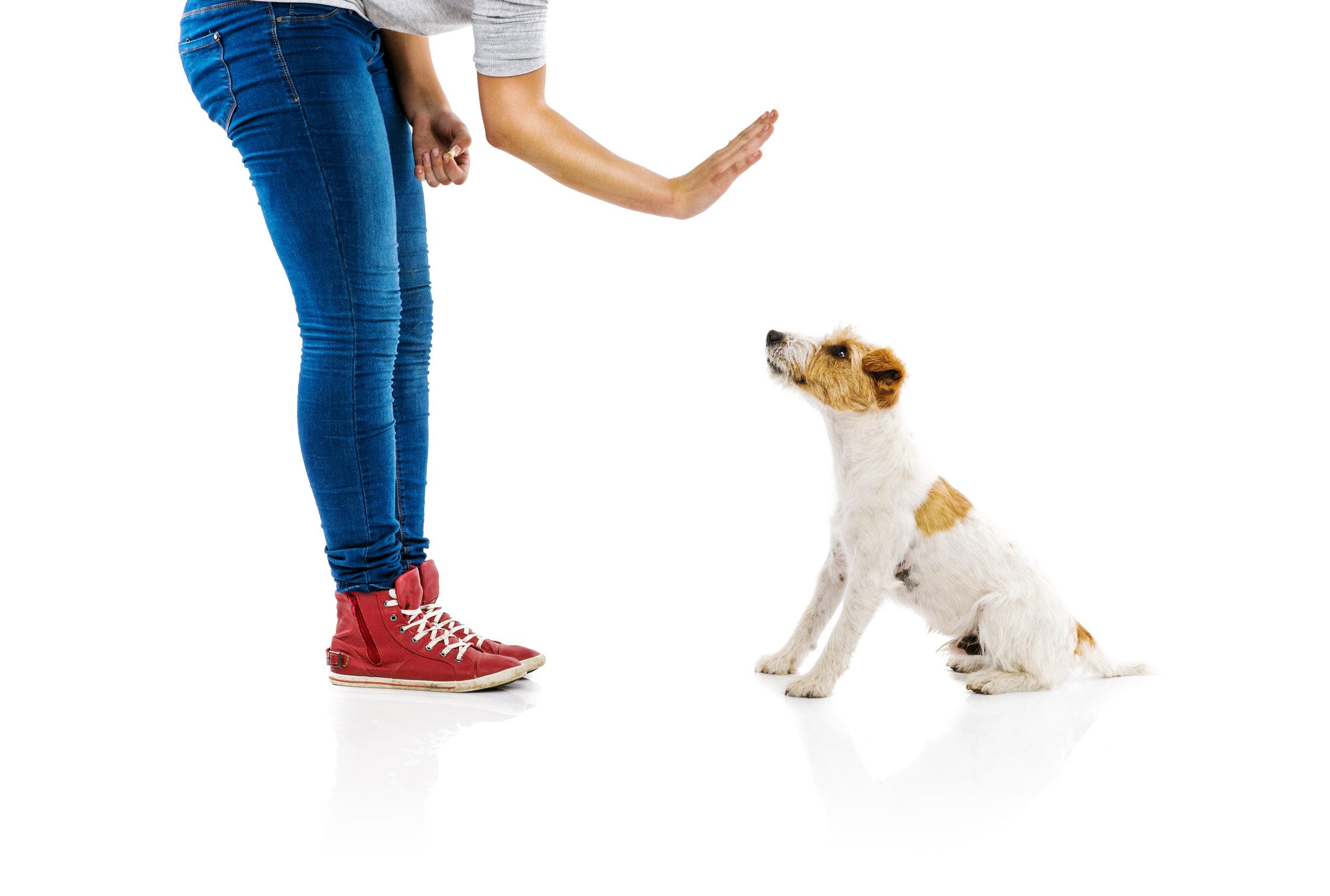 Dog Training Stay