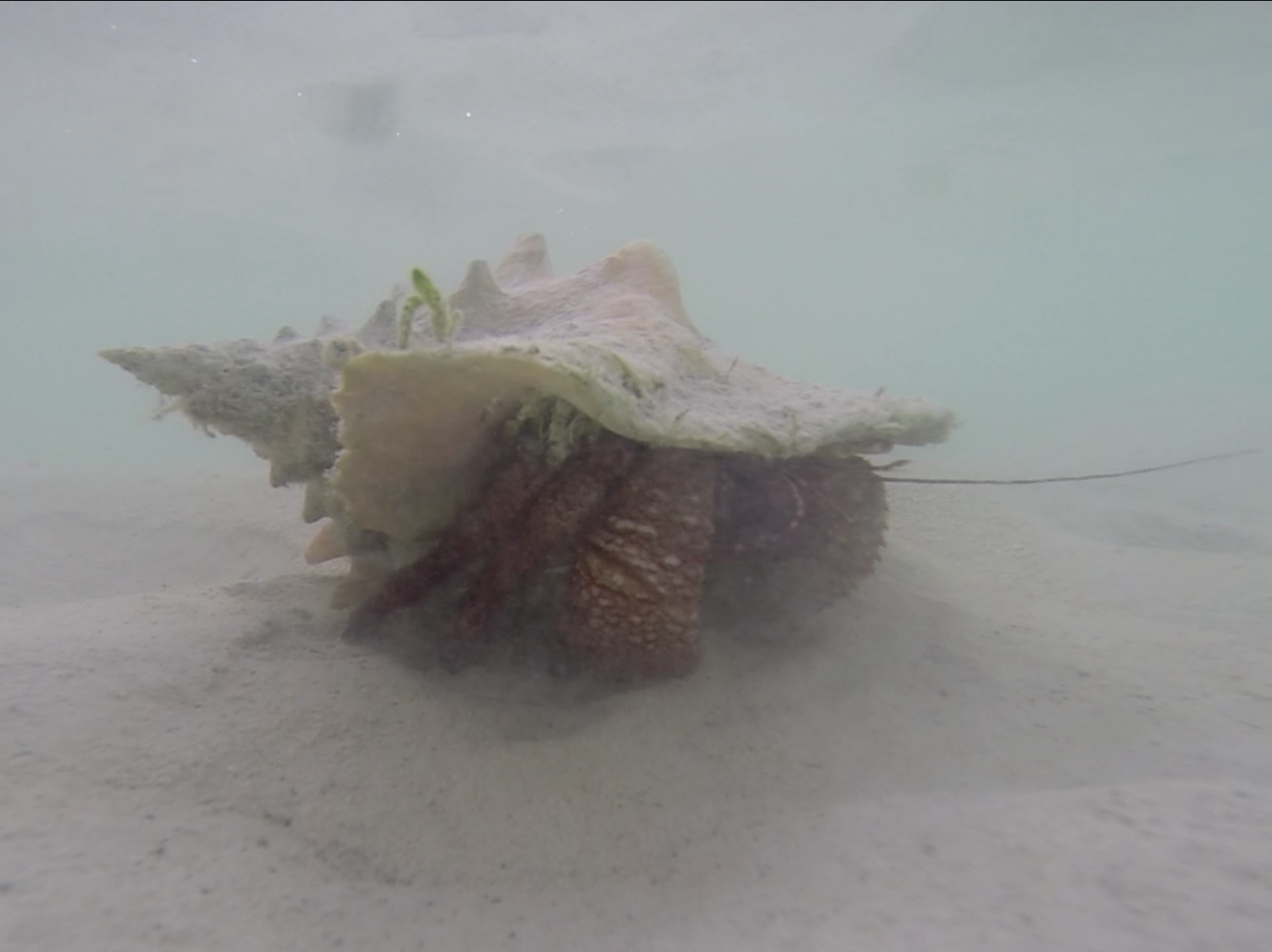 No luck diving for conch.... just a massive hermit crab