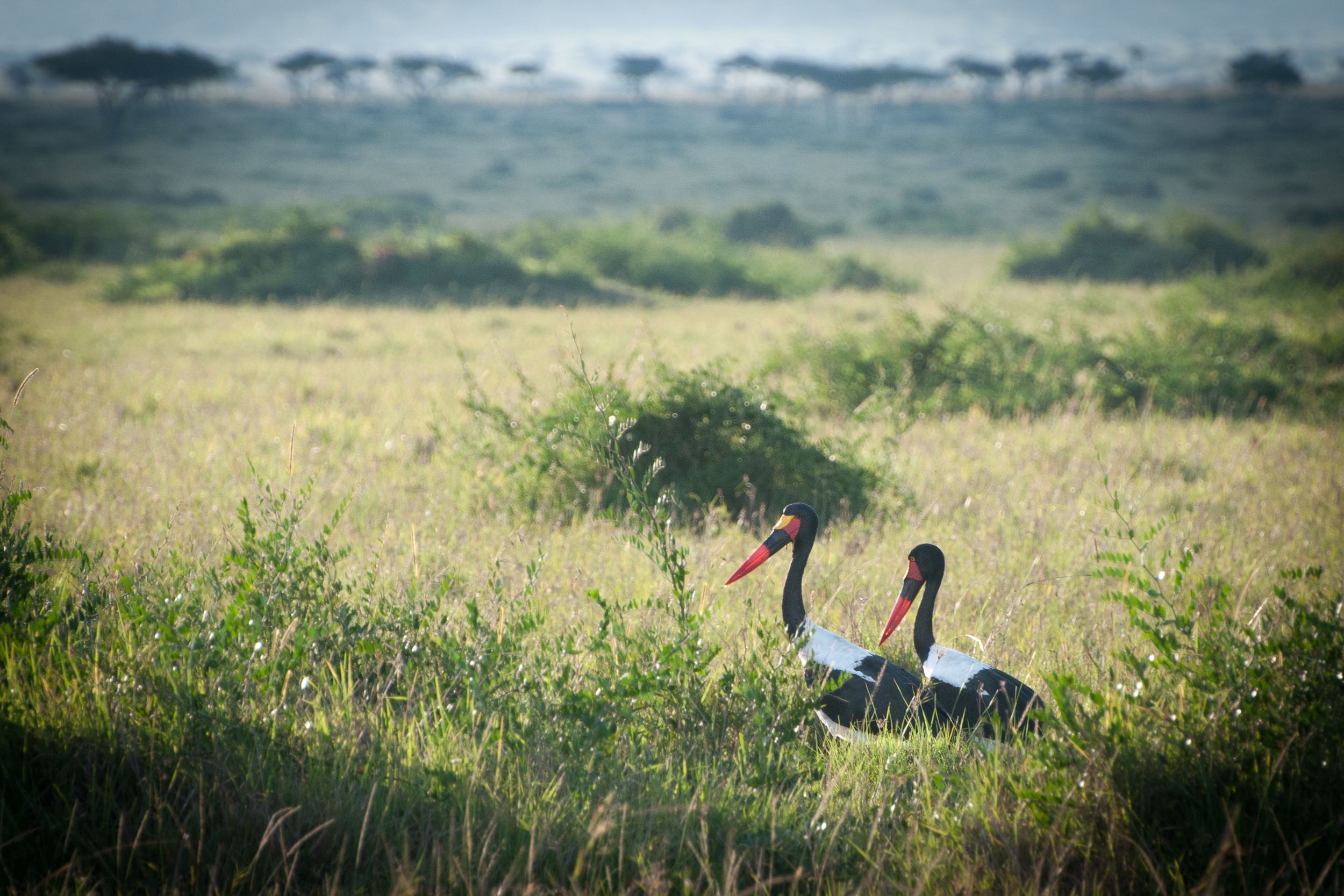 Saddle-billed Stork, Masai Mara