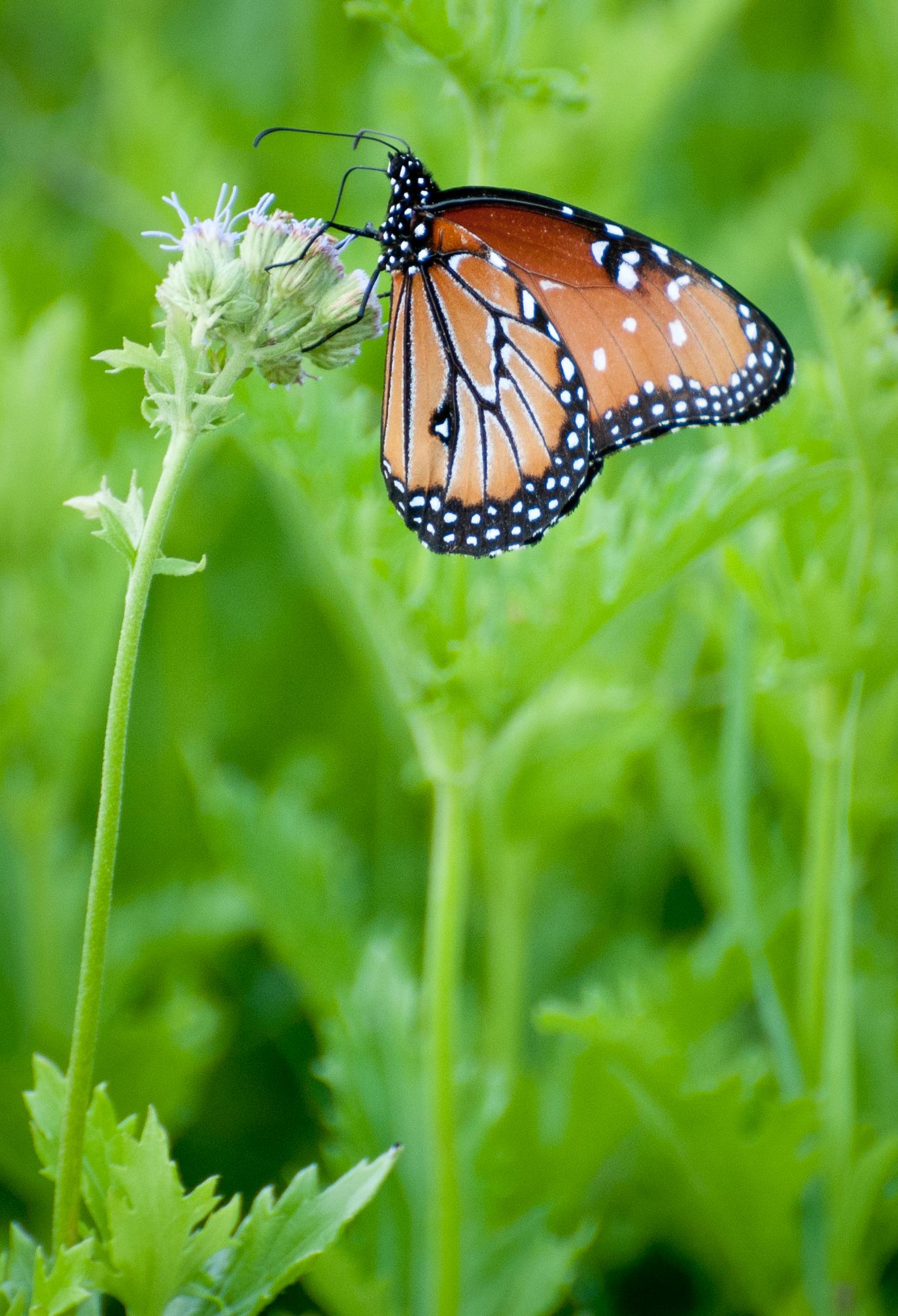Queen Monarch, Bentson Rio Grande, TX