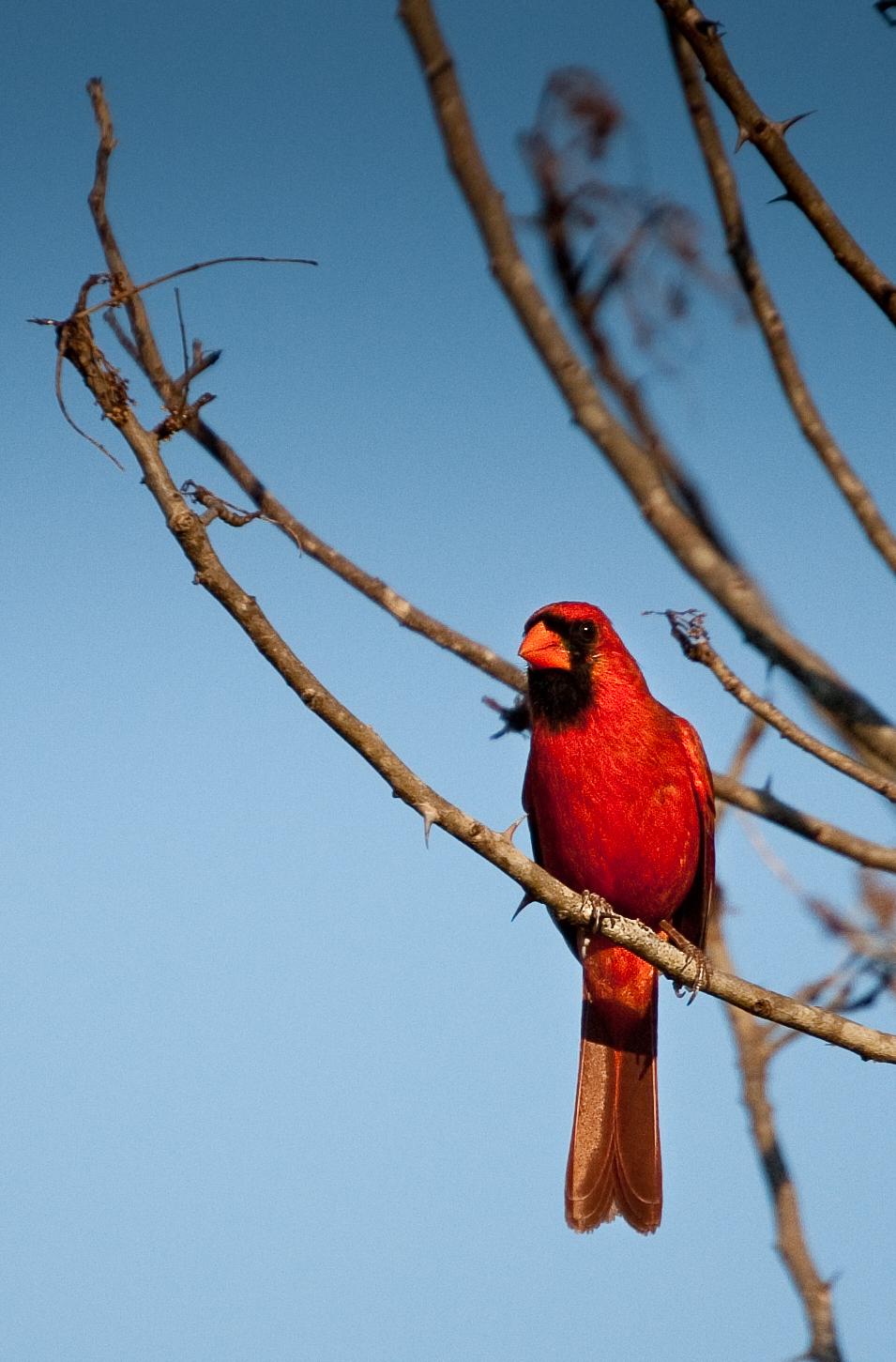 Northern Cardinal, Hunting Island, SC