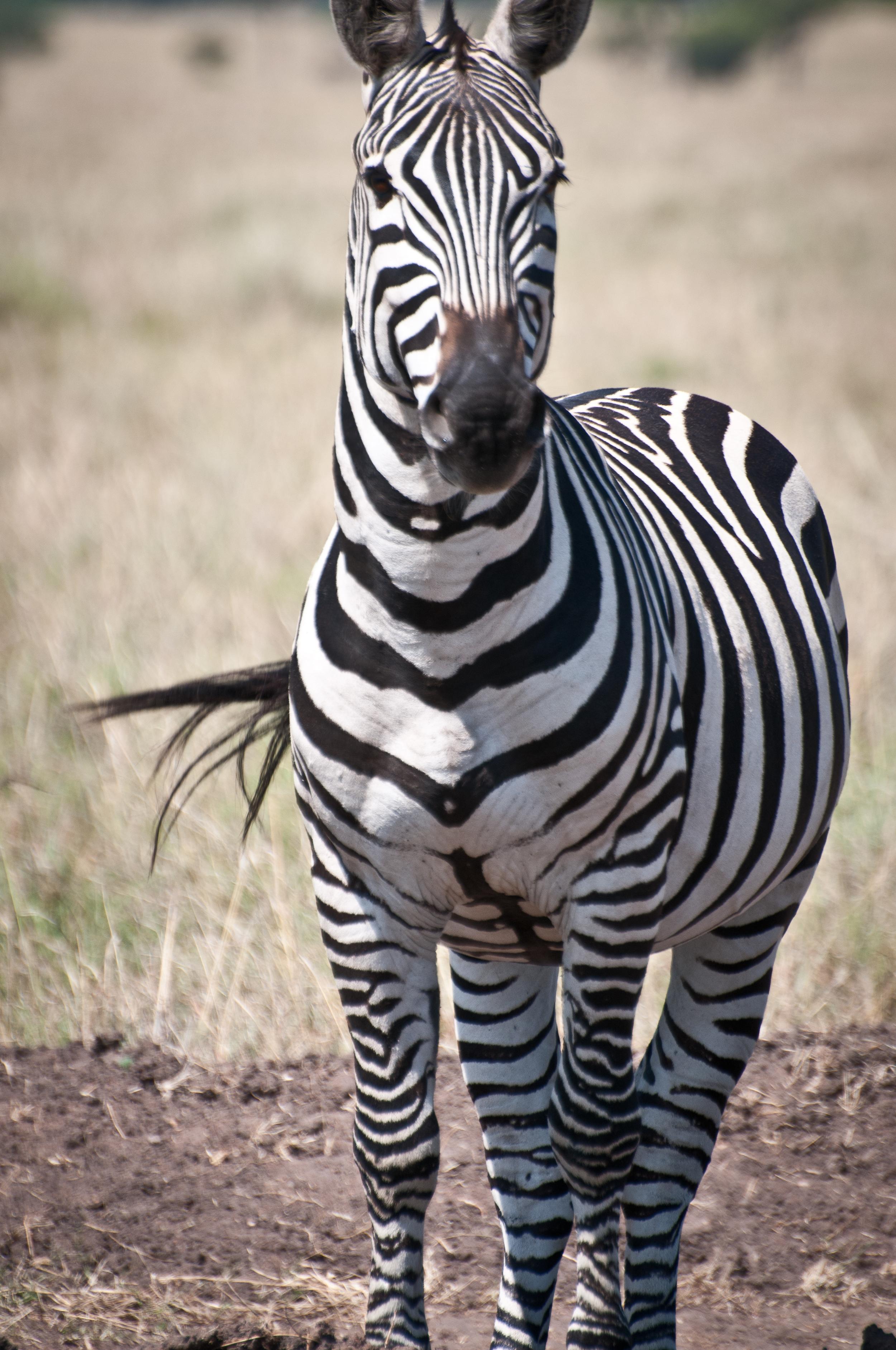 Common Zebra, Masai Mara, Kenya