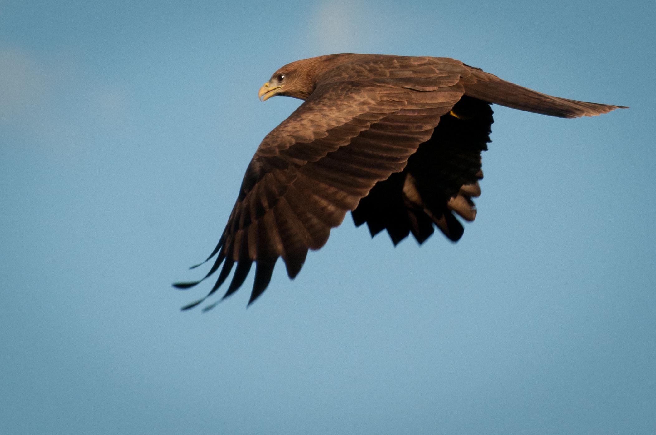 Black Kite, Ngong Hills, Kenya