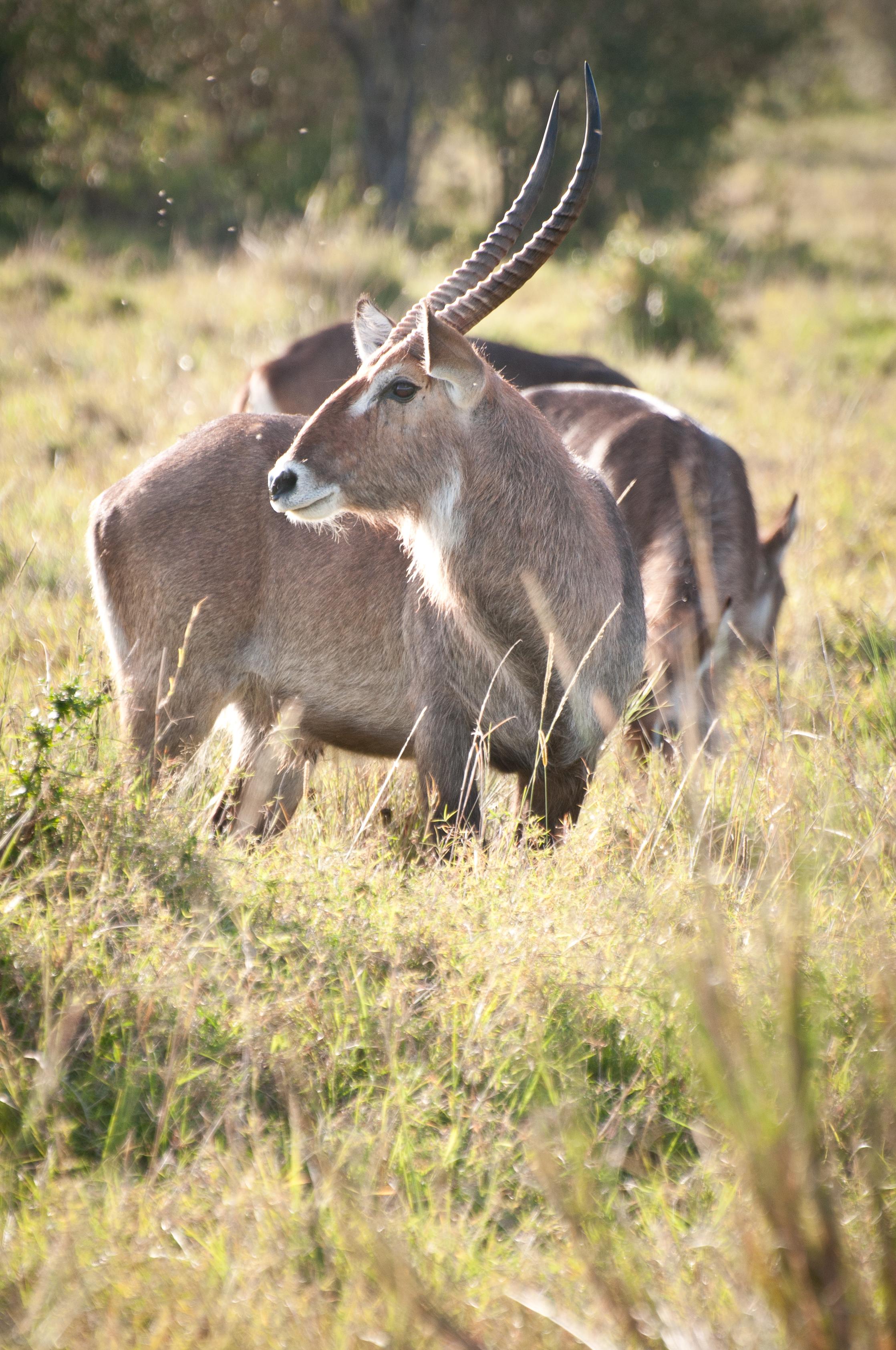 Waterbuck, Masai Mara, Kenya