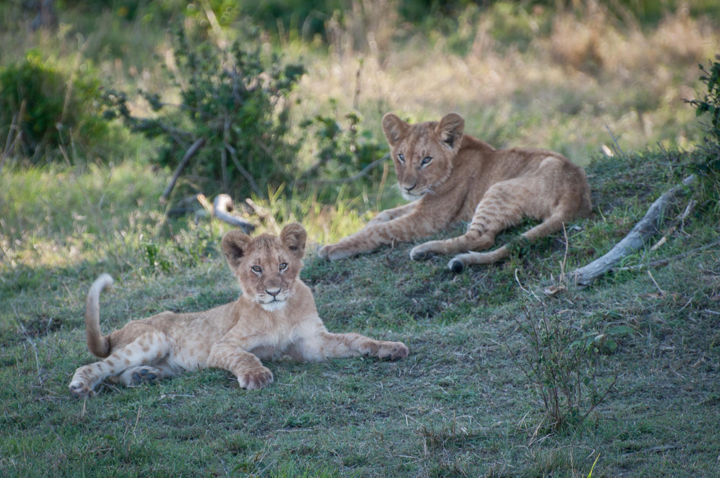 Lion Cubs, Masai Mara, Kenya