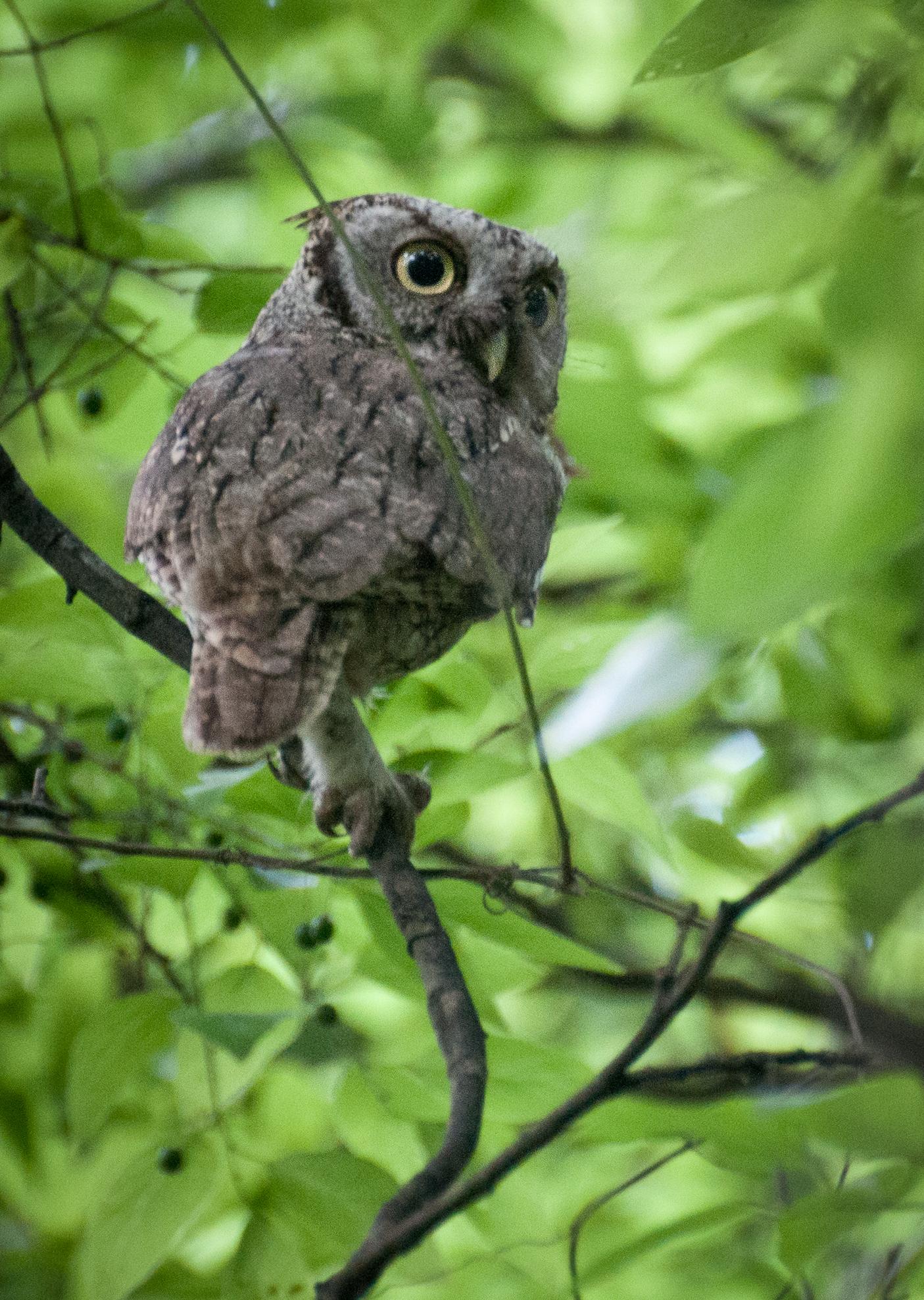 Eastern Screech-Owl, Bentson Rio Grande, TX
