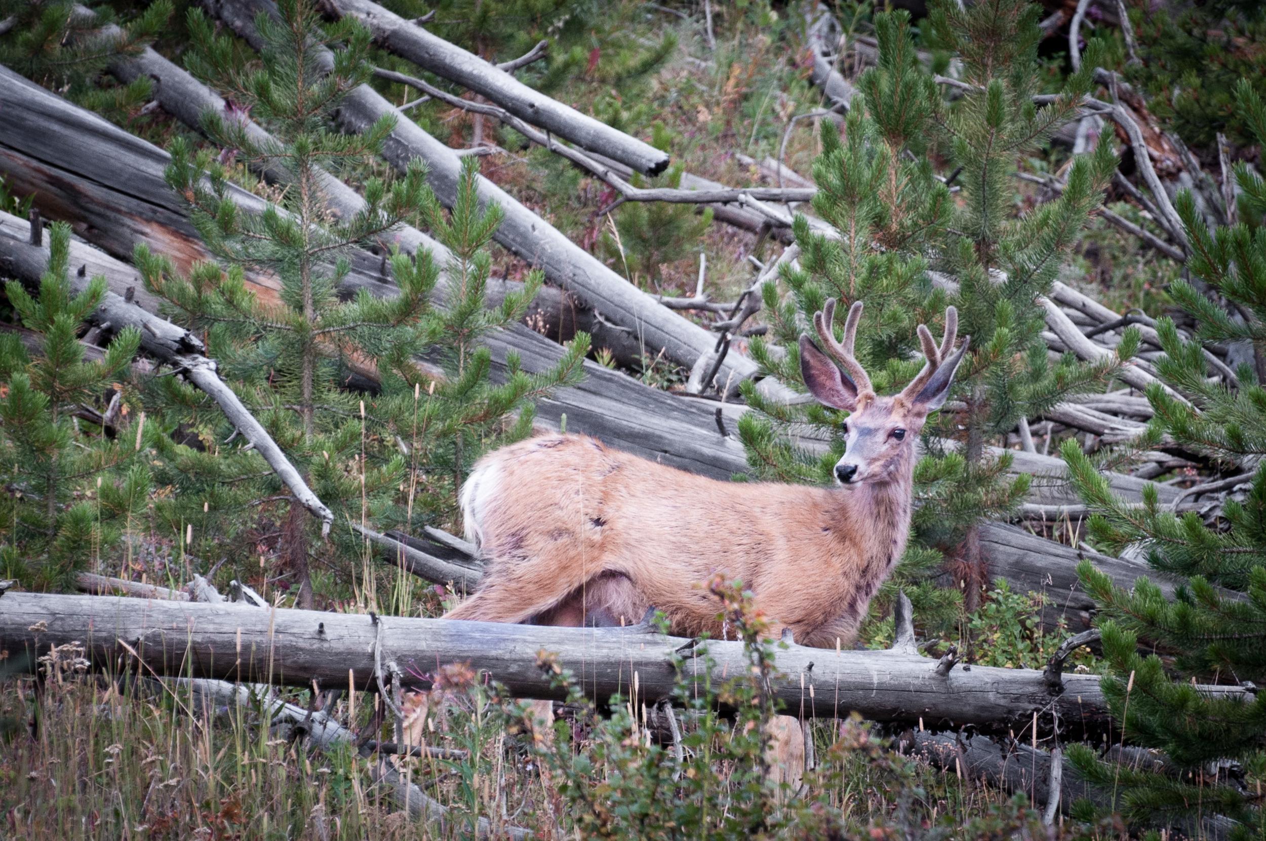 Mule Deer, Yellowstone N.P., WY