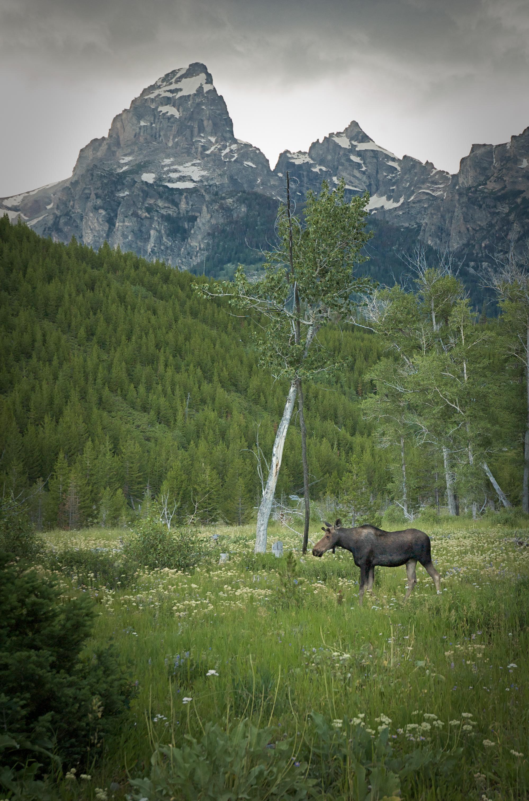 Moose, Grand Teton N.P., WY