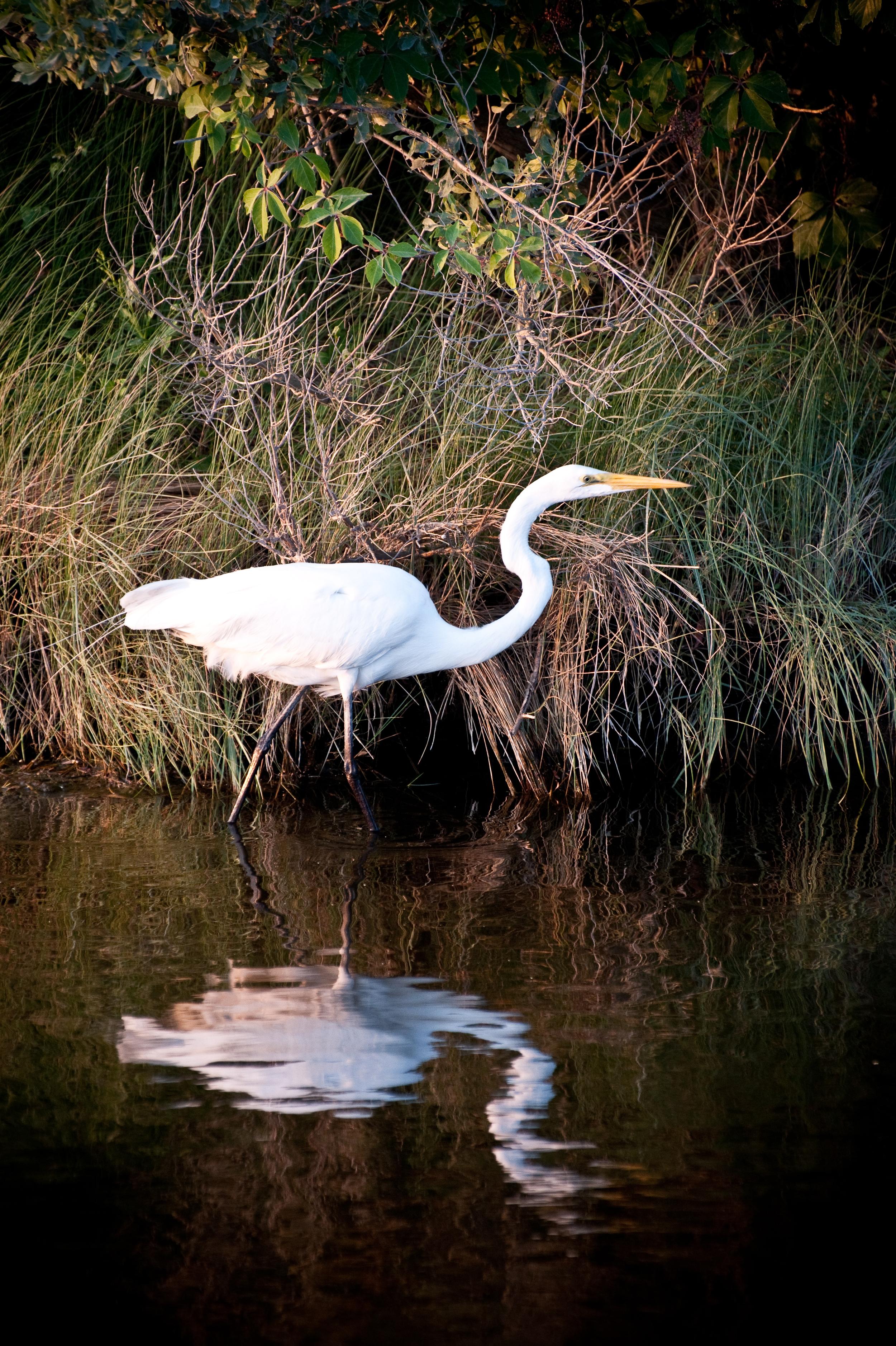 Great Egret, Chincoteage, VA