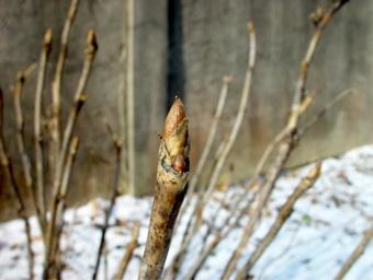 Tree peony buds in january