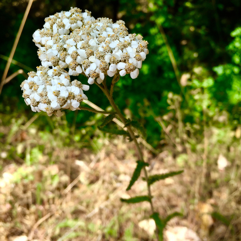 Yarrow (Achillea millefolium) ©Juniperous 2016