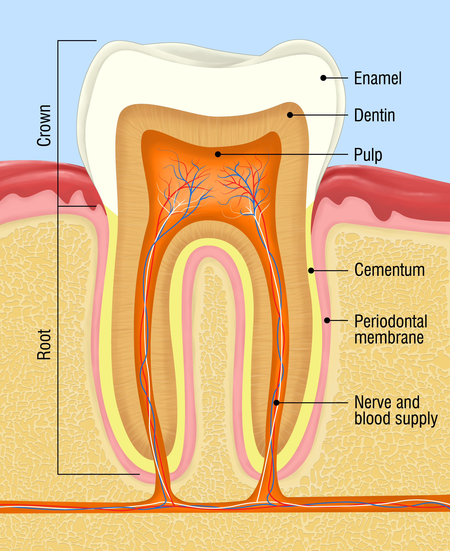 tooth anatomy.jpg