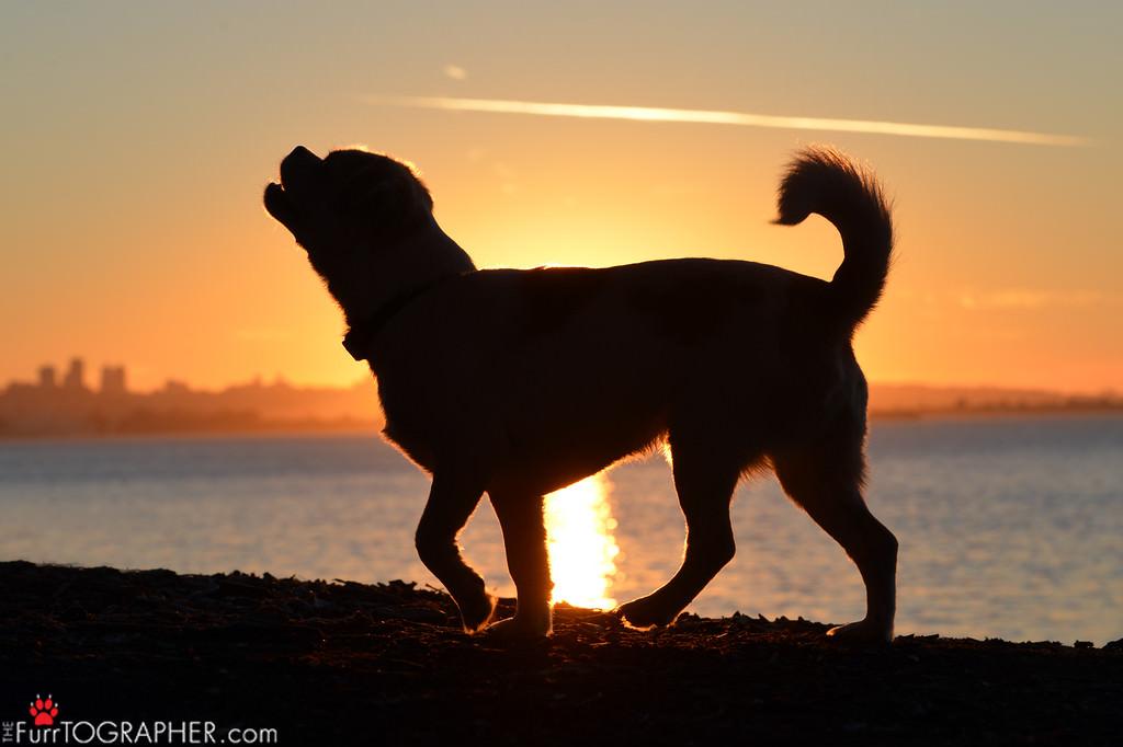 dog-sunset-silhouette-san-francisco-bay