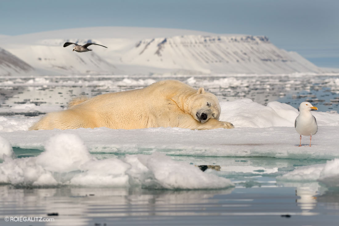 sleeping polar bear on ice float