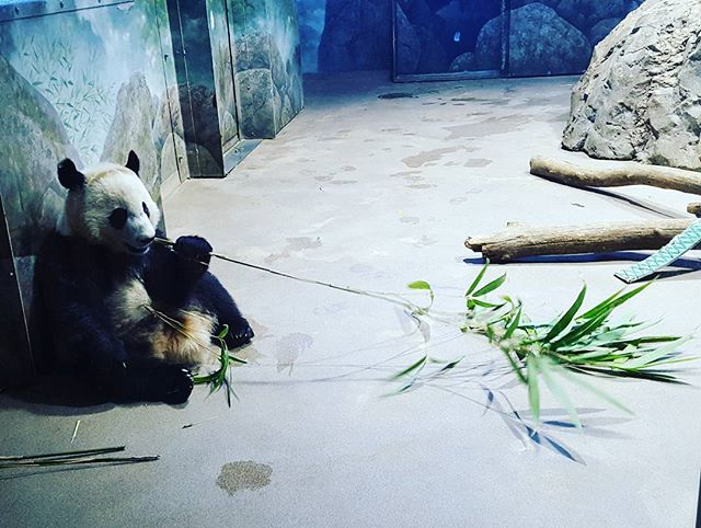 Taking a break from the Hobby Hand.  Visiting my friend, the panda at the Washington D.C. zoo! #3dprintedhand #3dprinting  #robothands #robothand #biomech #biomechanical #kickstarter #crowdfunding #hobbyist #hobby #arduino #technology #prosthetics #prostheticleg #biomedicalengineering #technology #prosthetic #prostheses #cyborg #startup #iowa #cnc #panda #panda🐼