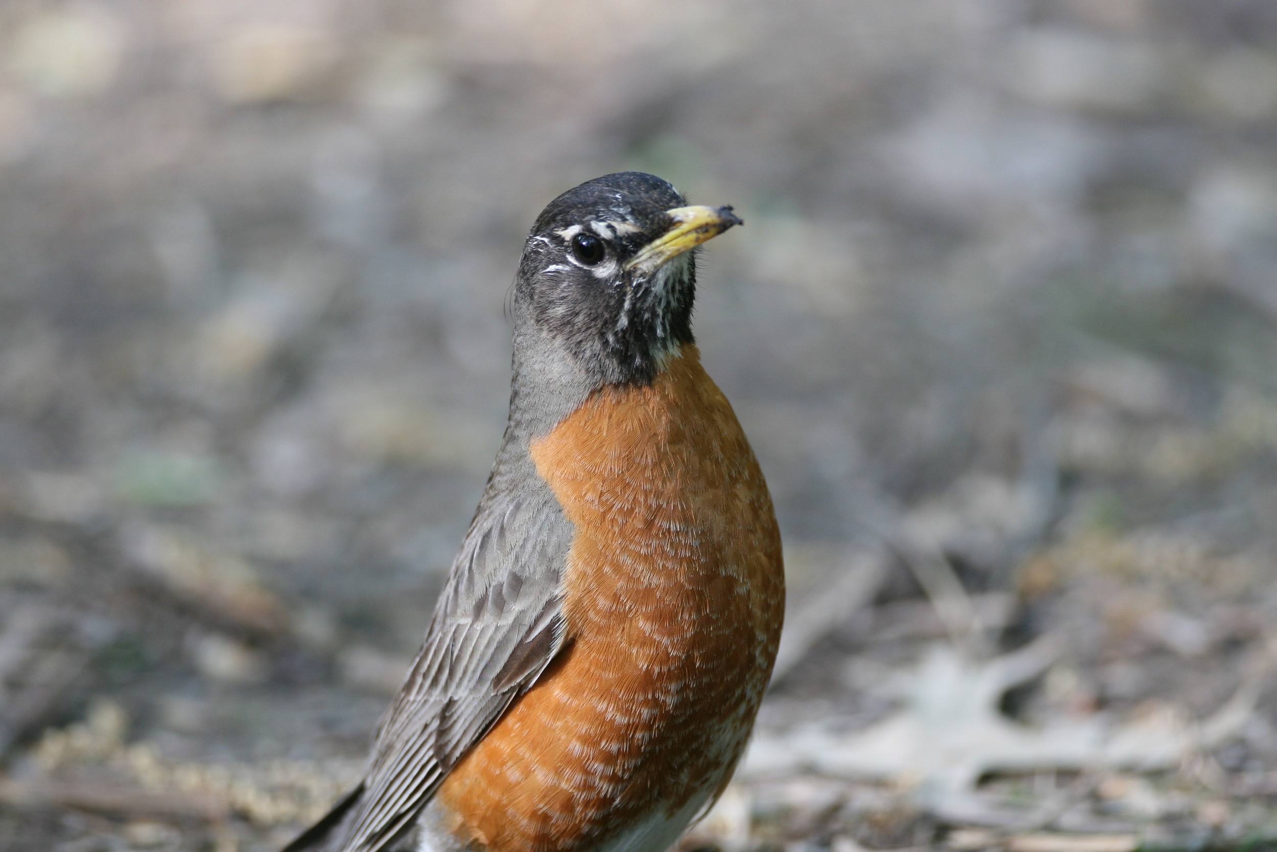 Adult American Robins have an incomplete or broken eye-ring, in case you were wondering.