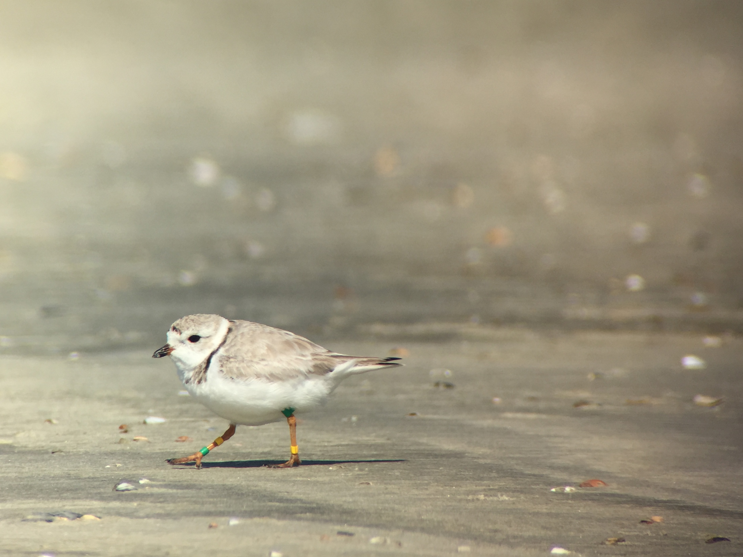 A banded Piping Plover runs across the sand on our shorebird count.  Photo digiscoped through Swarovski spotting scope with iPhone6 and Phone Skope adapter