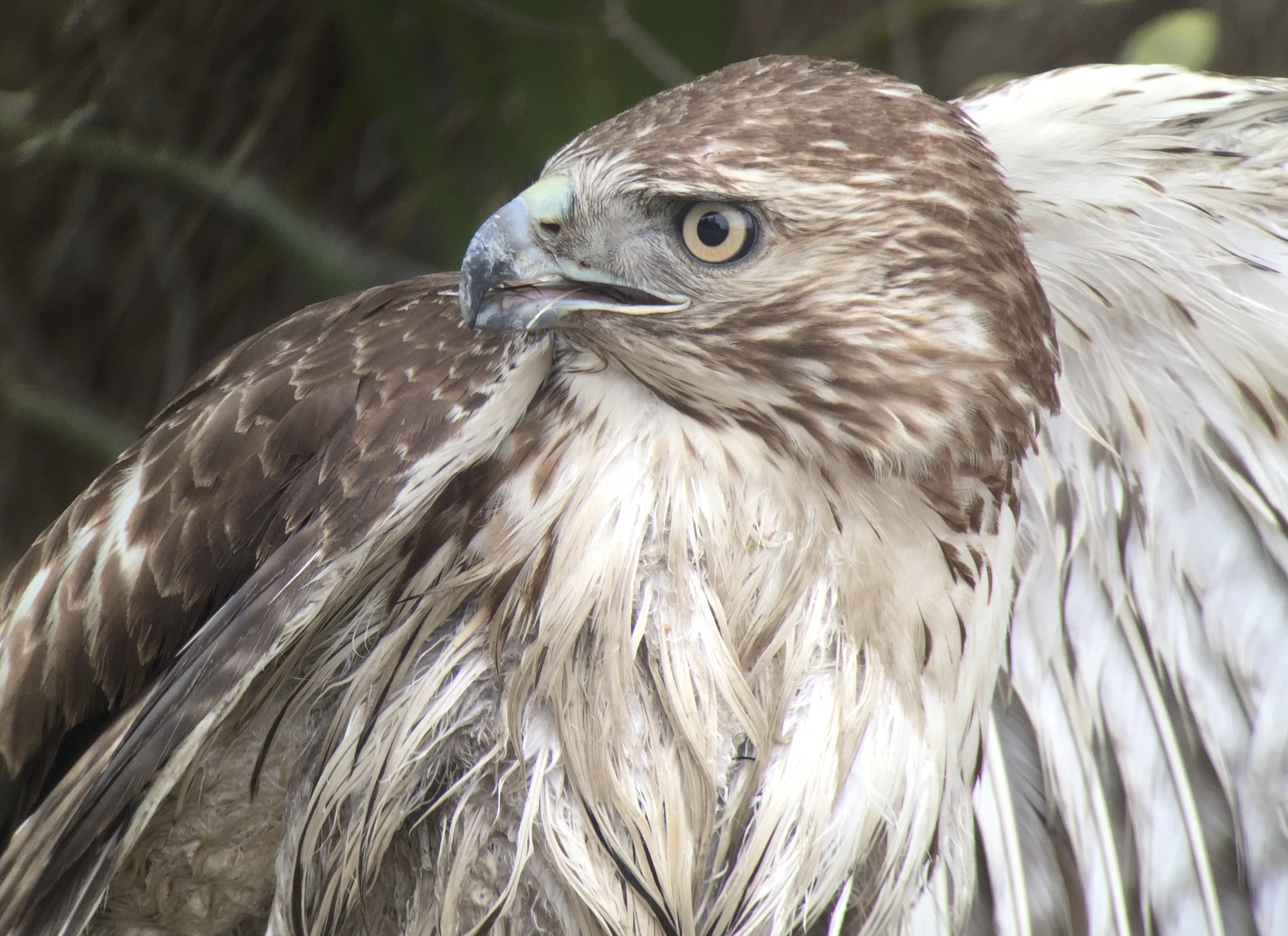 Red-tailed Hawk |  Digiscoped with iPhone + Swarovski ATX scope + Phone Skope adapter