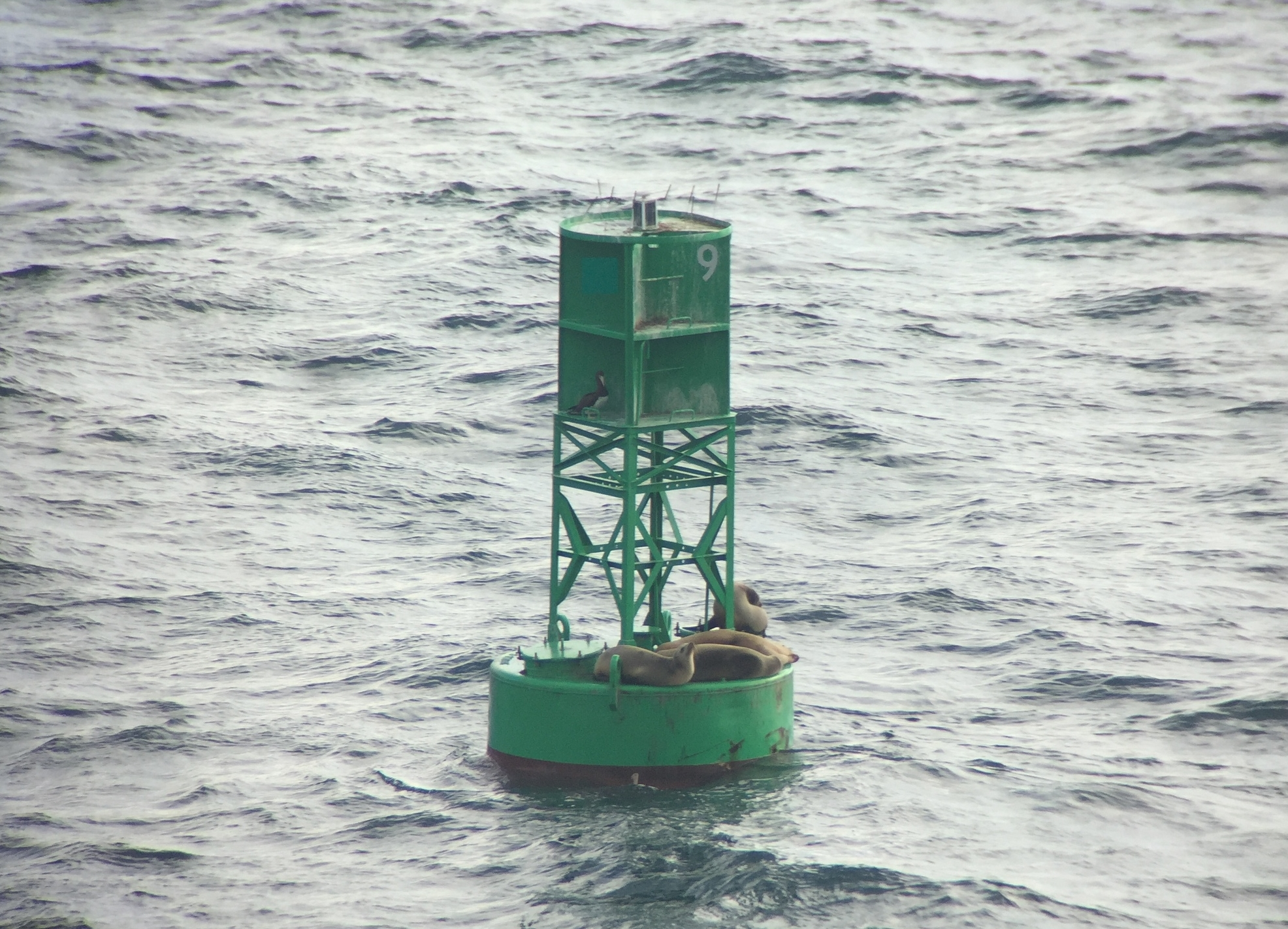 Brown Booby perched below and left of the '9' channel marker. Four California Sea lions also shared their perch                         Digiscoped with iPhone 6 and Swarovski ATX spotting scope