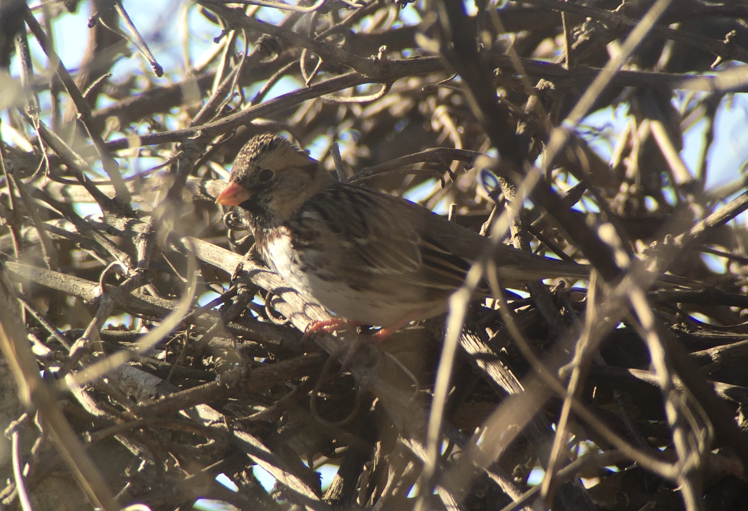 Digiscoped image of a Harris's Sparrow, using iPhone 6 + Swarovski scope with Phone Skope adapter
