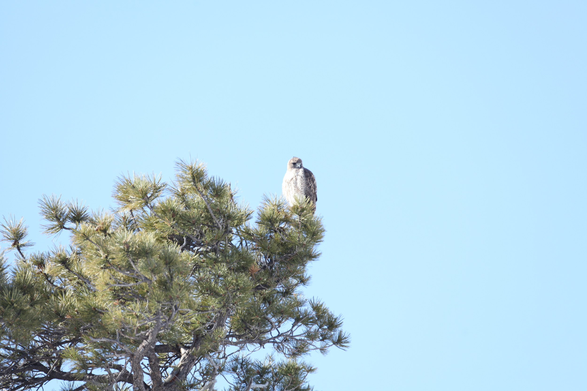 """Northern"" Red-tailed hawk- a clean candidate for 'abieticola' designation"